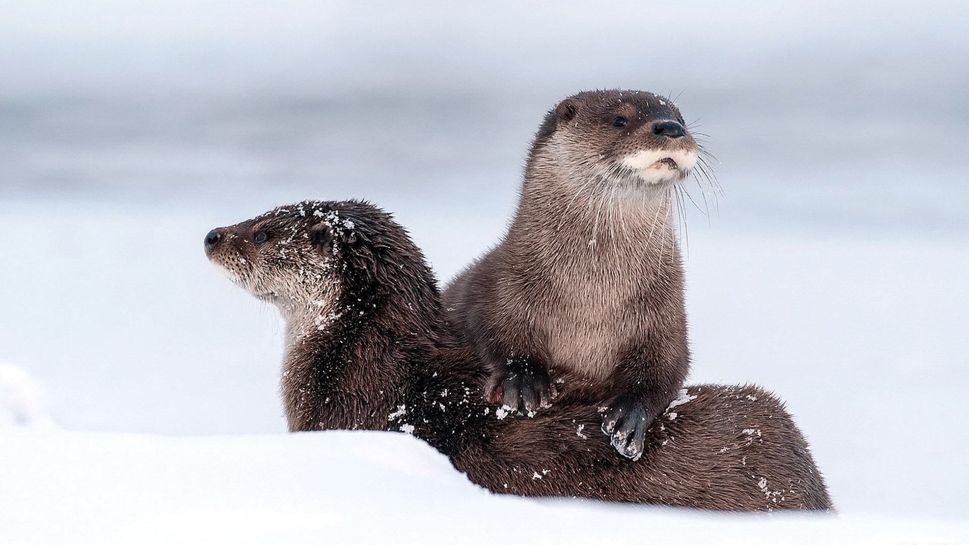 Awesome Otter free background ID:207594 for full hd 1920x1080 PC