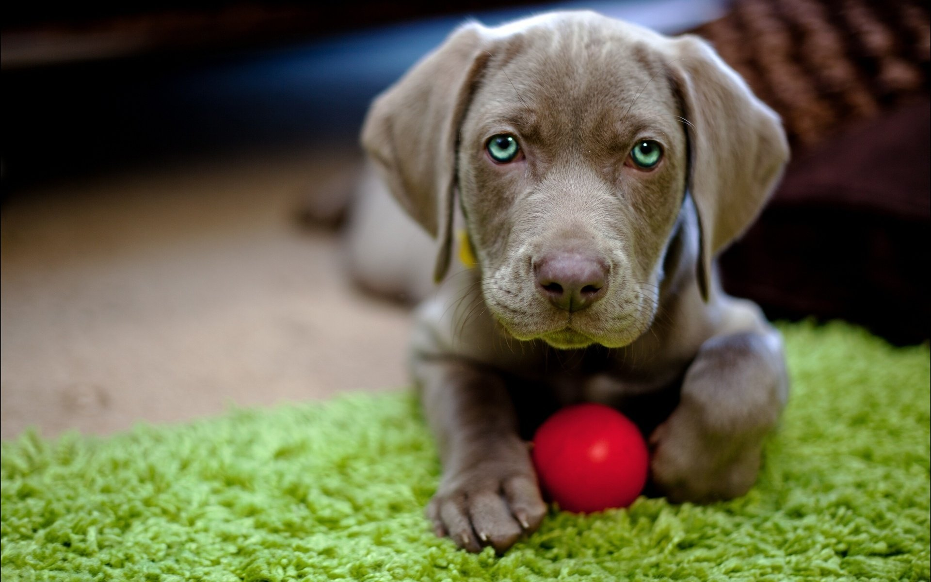 Free download Weimaraner wallpaper ID:9633 hd 1920x1200 for PC