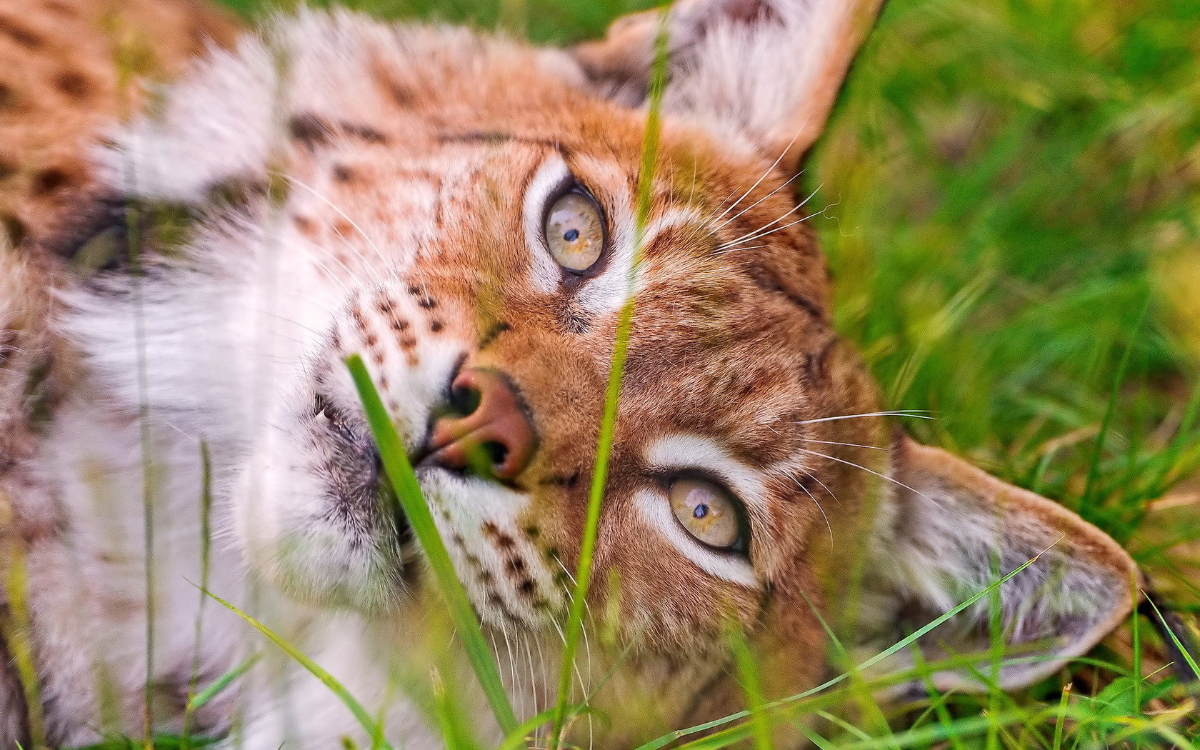 Awesome Bobcat free background ID:191649 for hd 1680x1050 desktop