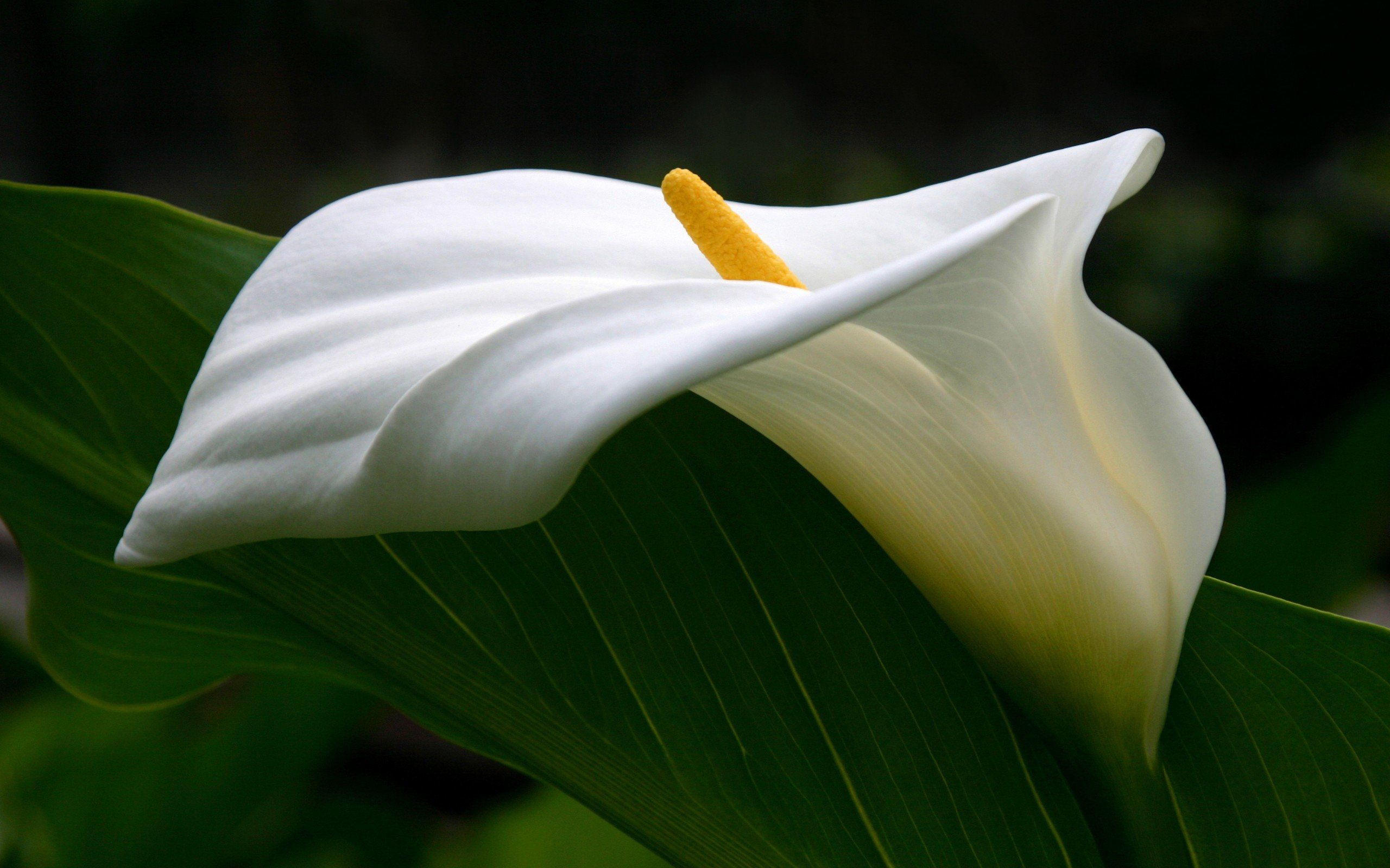 Calla Lily wallpapers HD for desktop backgrounds