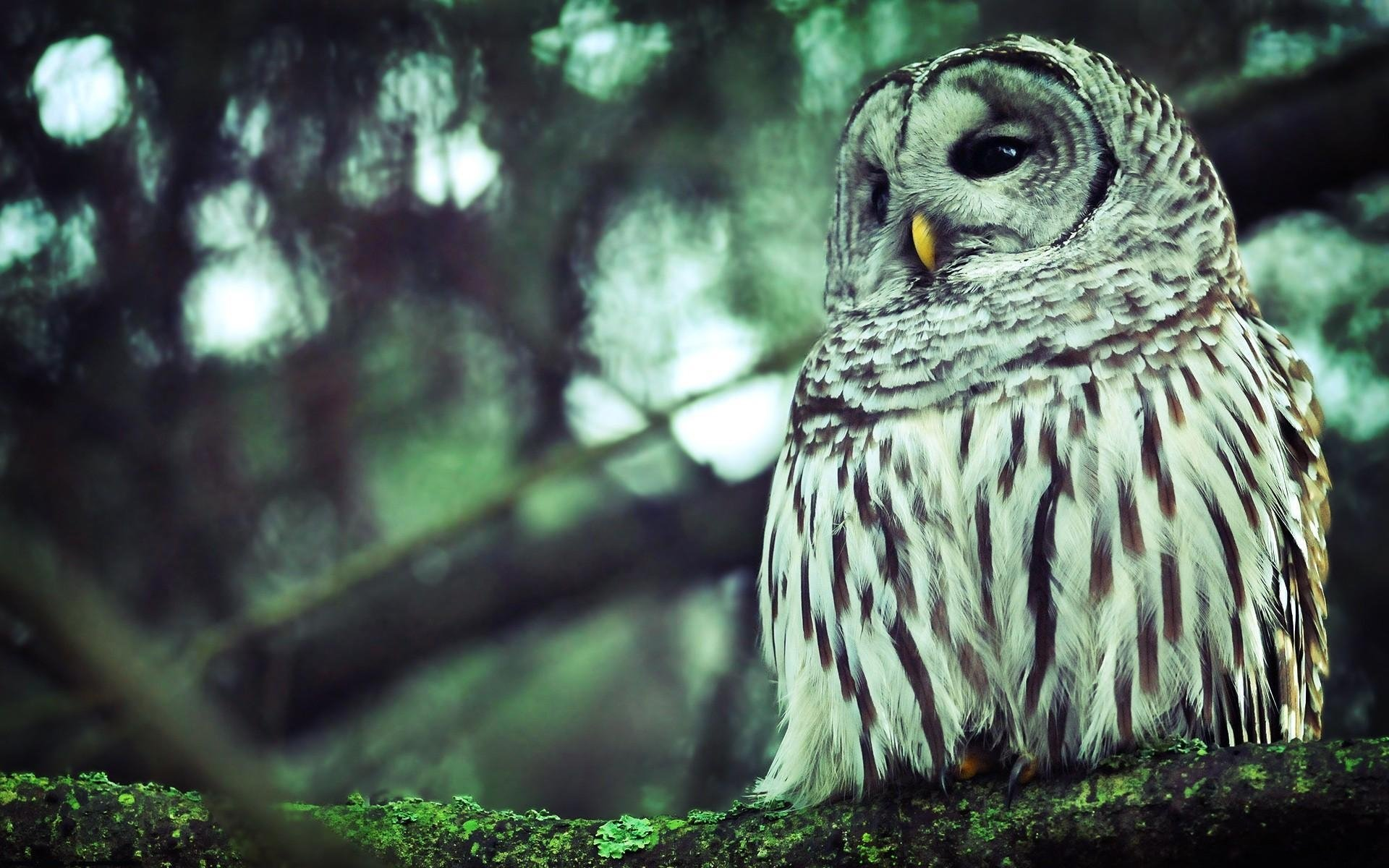 Free download Barred Owl wallpaper ID:91335 hd 1920x1200 for PC