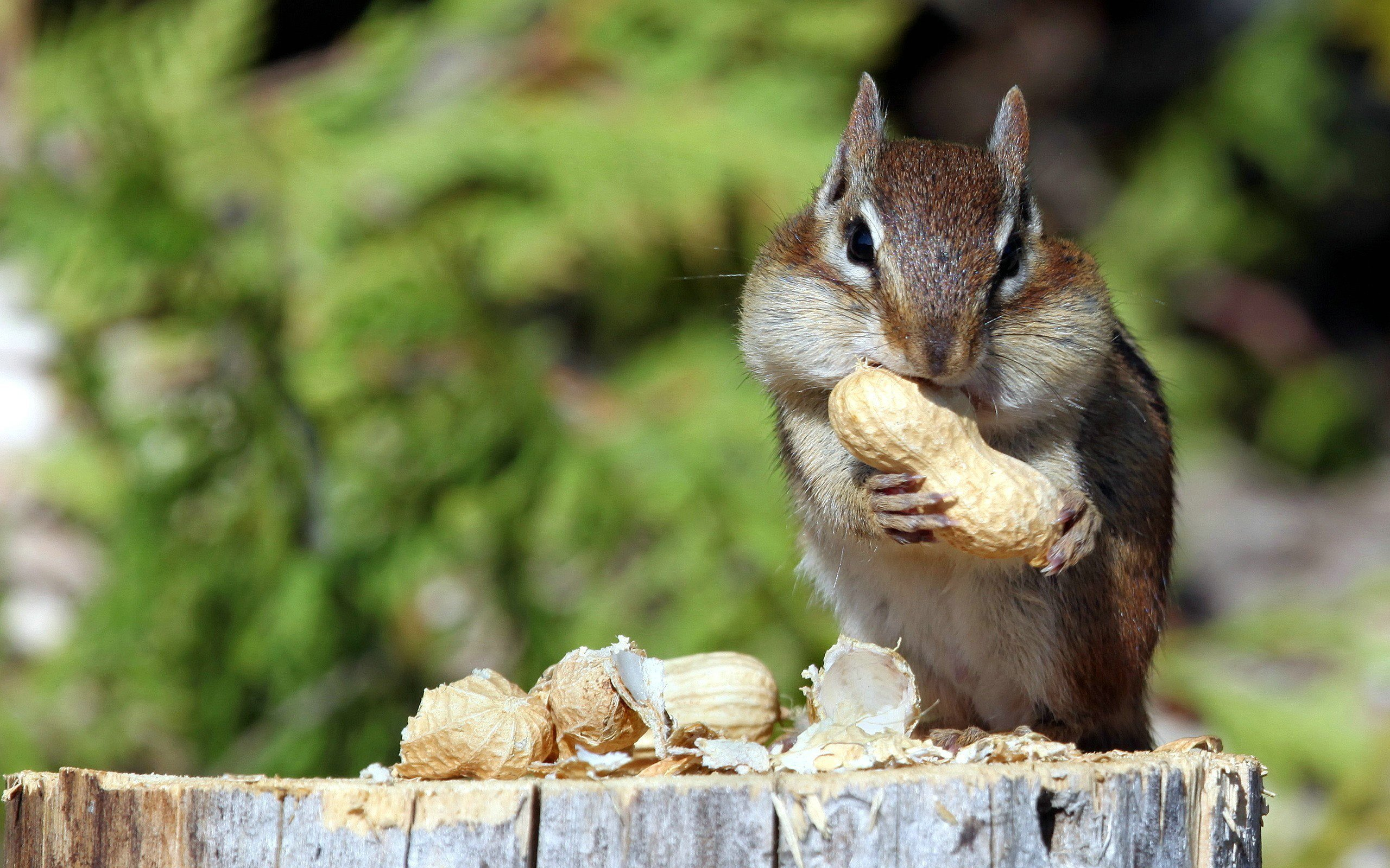 Free download Chipmunk wallpaper ID:323089 hd 2560x1600 for computer