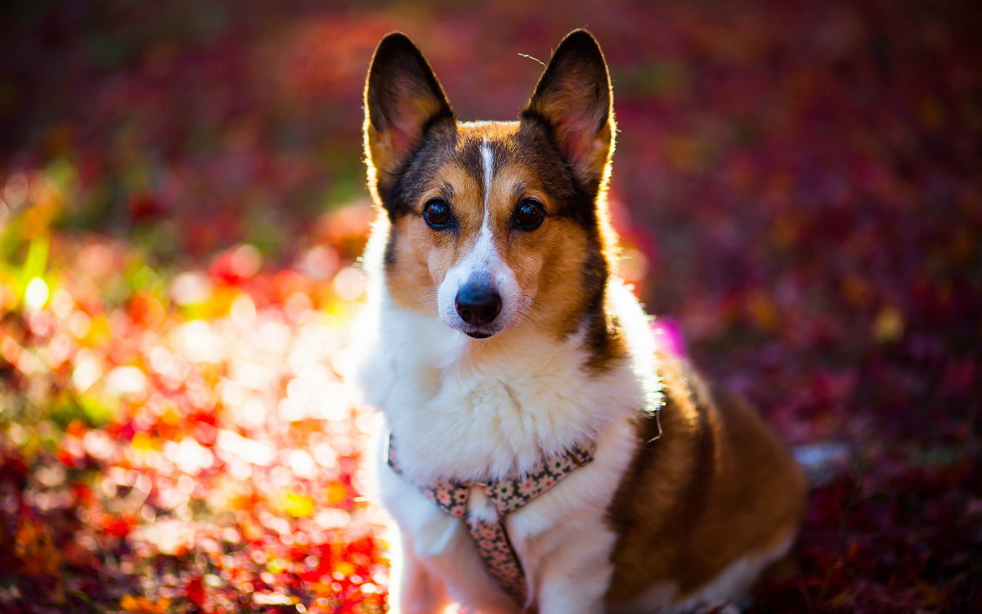 Best Corgi background ID:47782 for High Resolution hd 1920x1200 computer