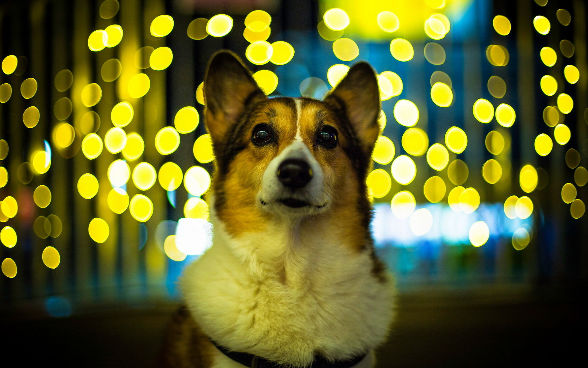 Download hd 1920x1200 Corgi desktop wallpaper ID:47798 for free