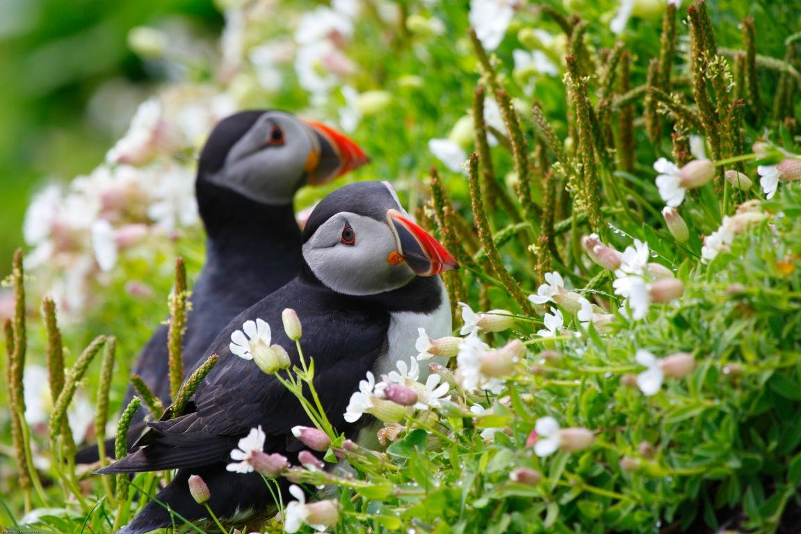 Awesome Puffin free background ID:193146 for hd 1152x768 PC
