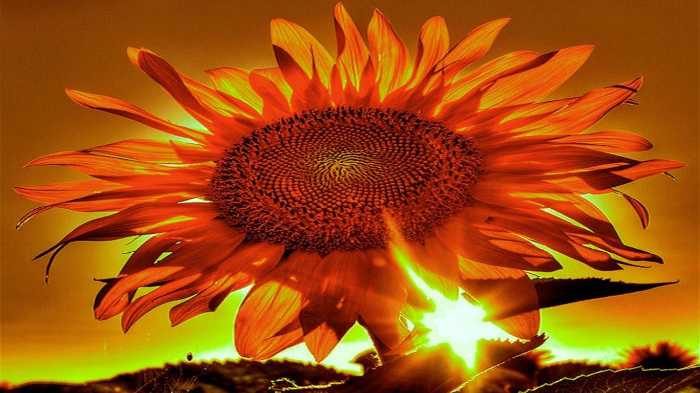 Sunflower Wallpapers 1366x768 Laptop Desktop Backgrounds
