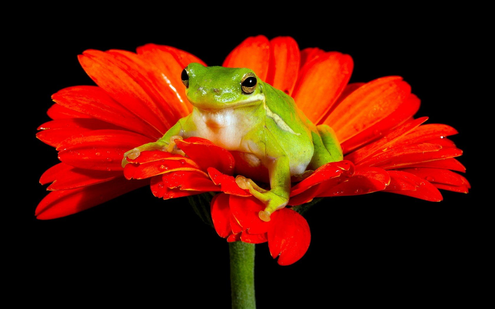 Free download Frog background ID:328668 hd 1680x1050 for PC