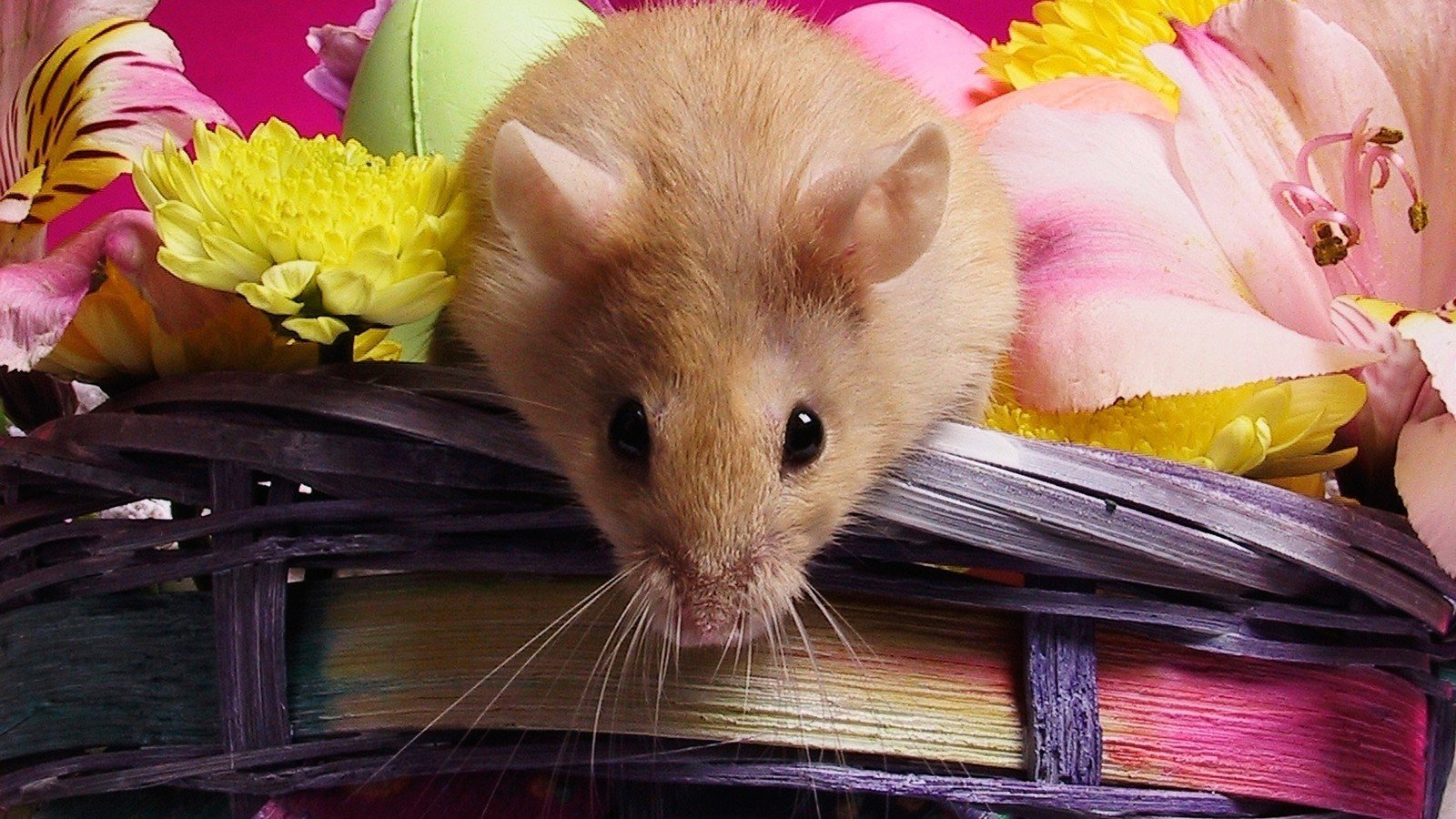 Download hd 1600x900 Hamster computer wallpaper ID:234048 for free