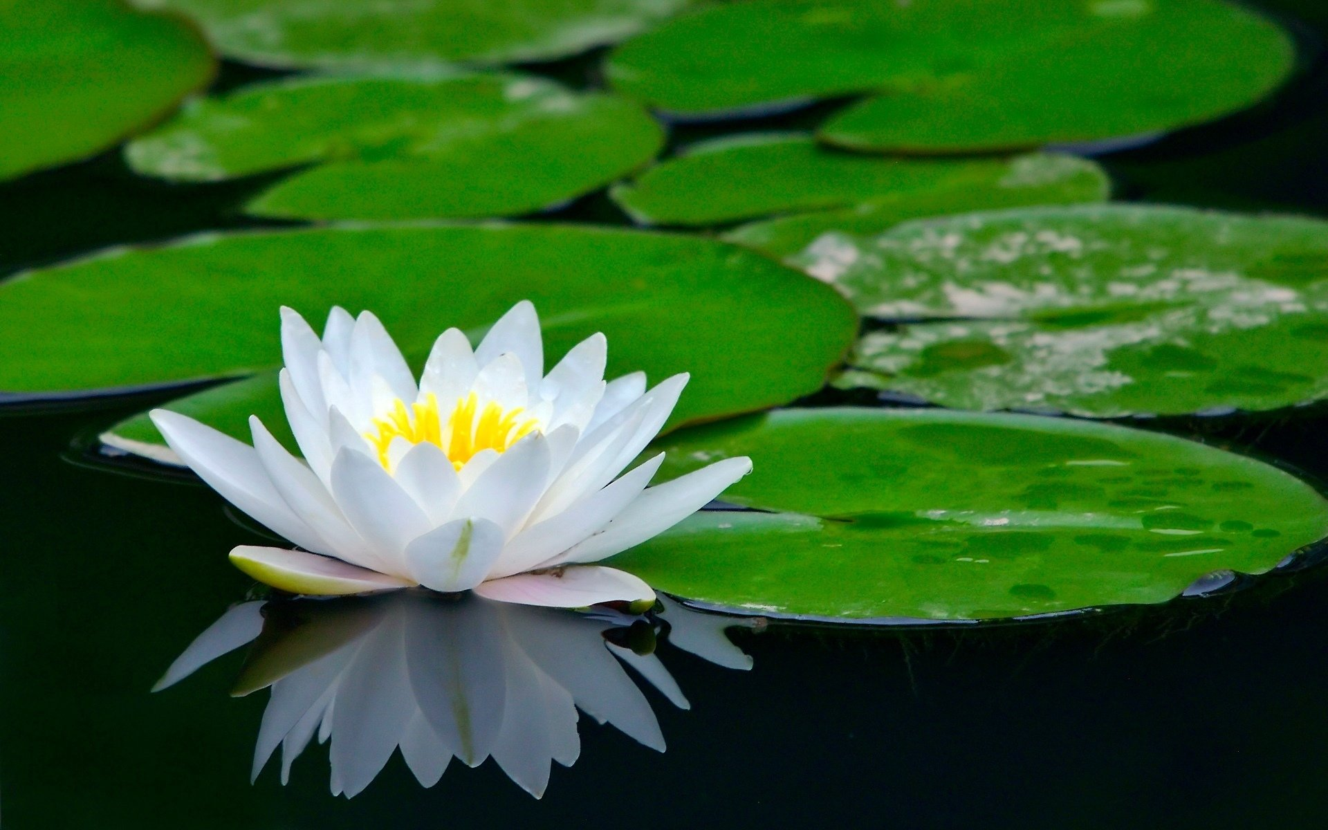 Awesome Water Lily free background ID:366213 for hd 1920x1200 desktop