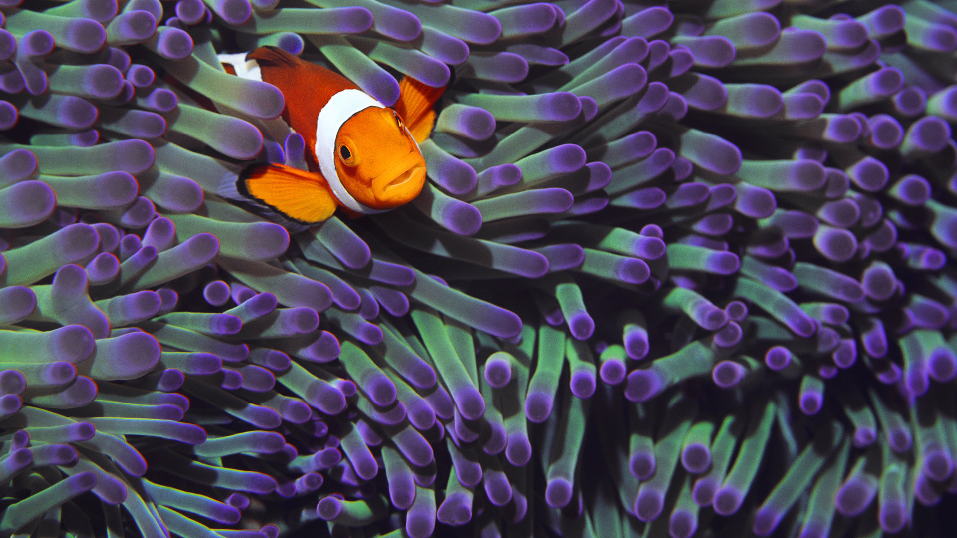 Free download Clownfish wallpaper ID:53245 1080p for PC