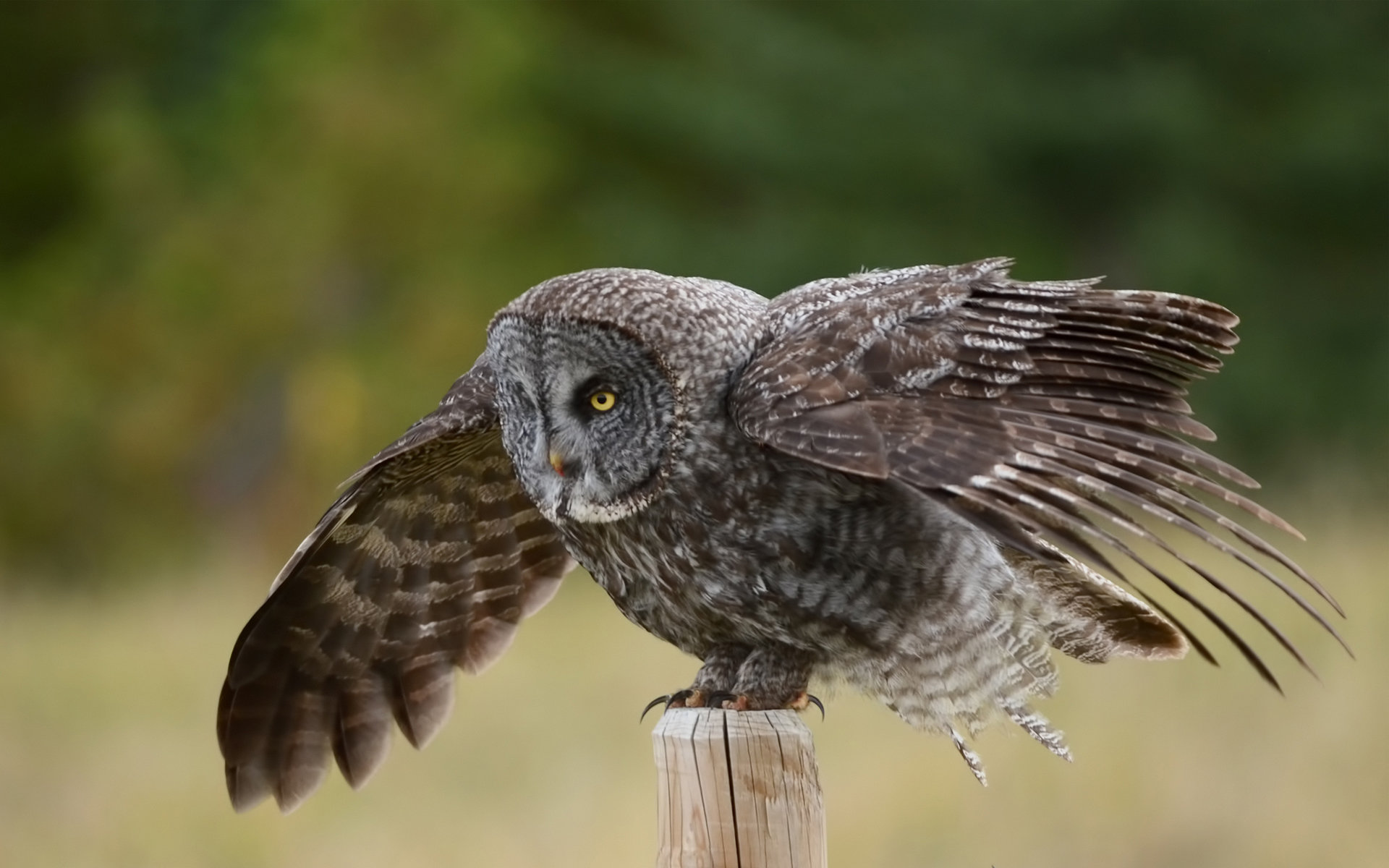 Download hd 1920x1200 Great Grey Owl computer background ID:235115 for free