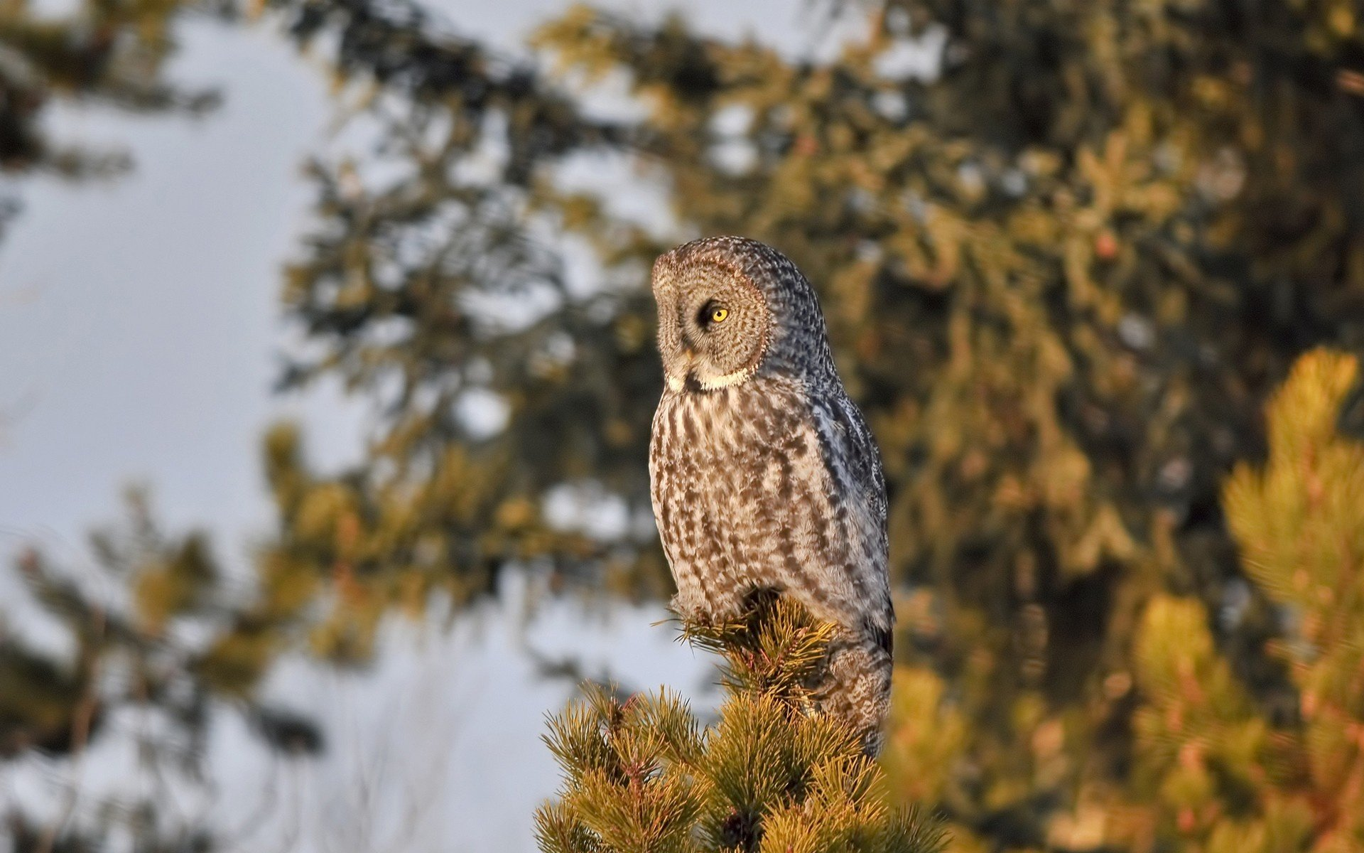 Best Great Grey Owl Wallpaper Id235116 For High Resolution