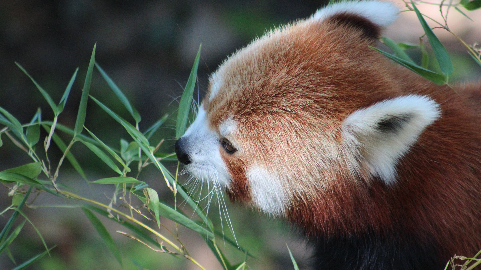 Free Red Panda high quality background ID:64023 for 1080p computer