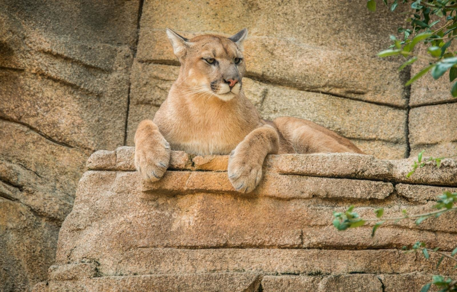 Free Cougar high quality background ID:81709 for hd 1600x1024 computer