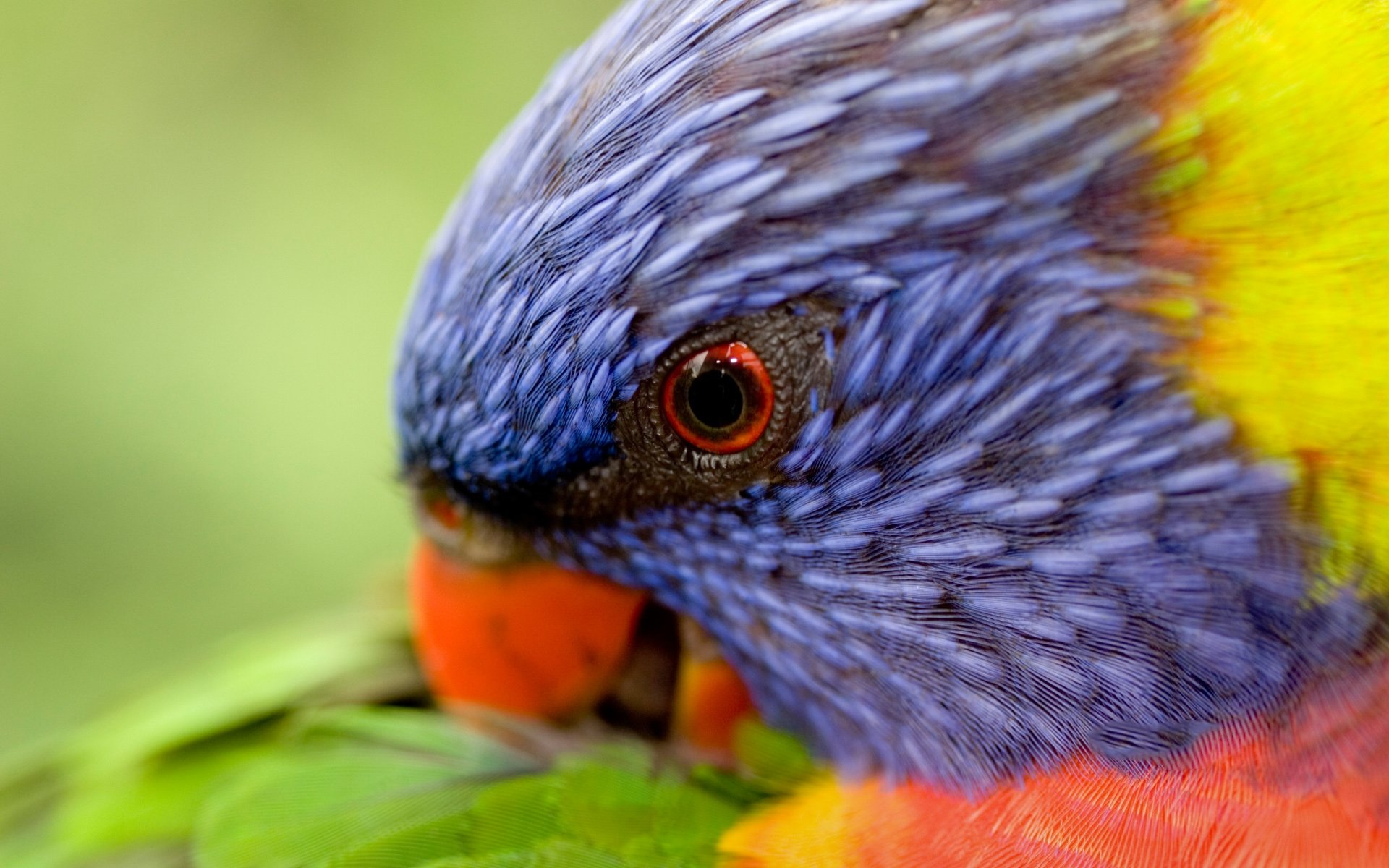 Awesome Rainbow Lorikeet free background ID:10155 for hd 1920x1200 PC