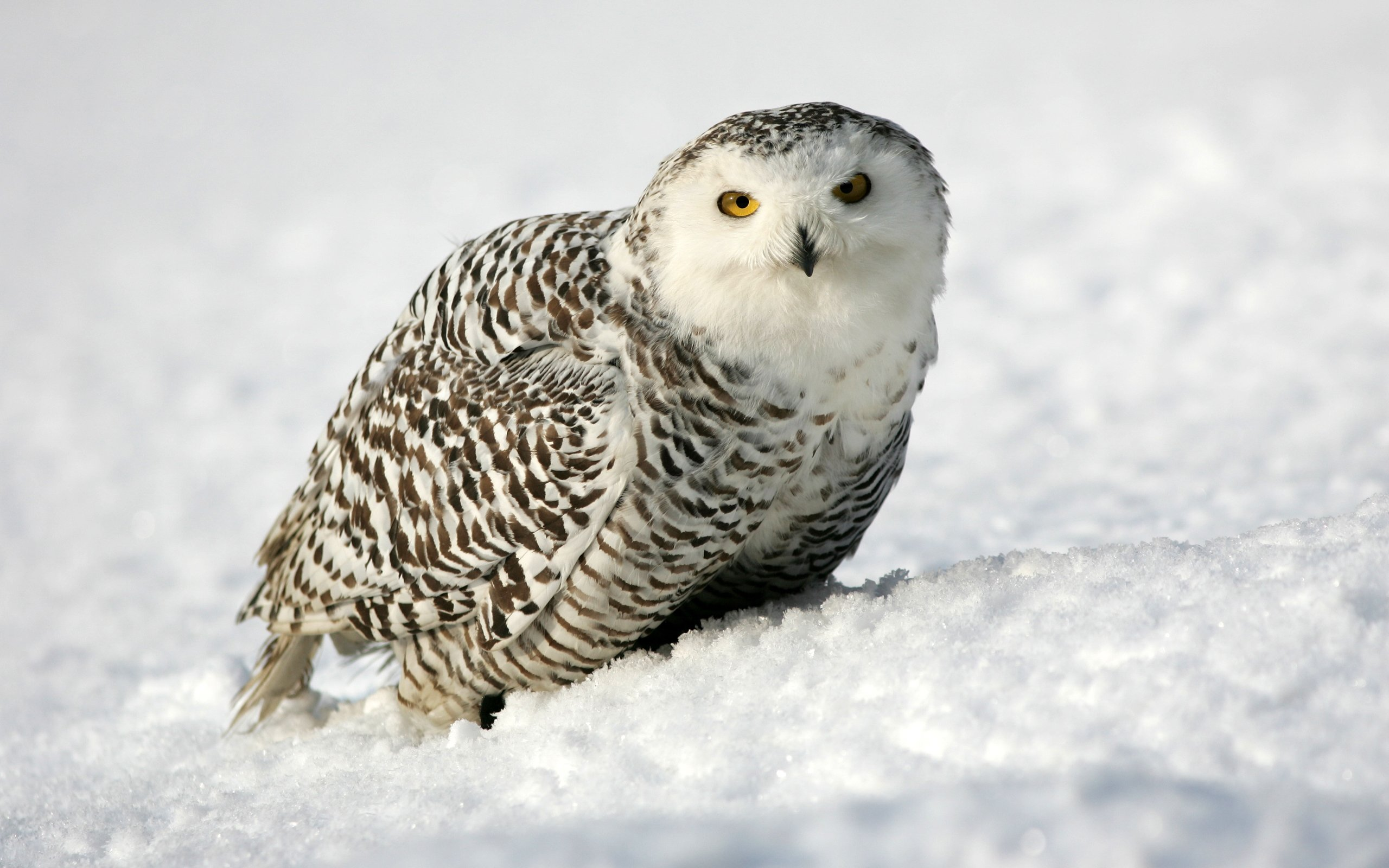 Download hd 2560x1600 Snowy Owl desktop wallpaper ID:26773 for free