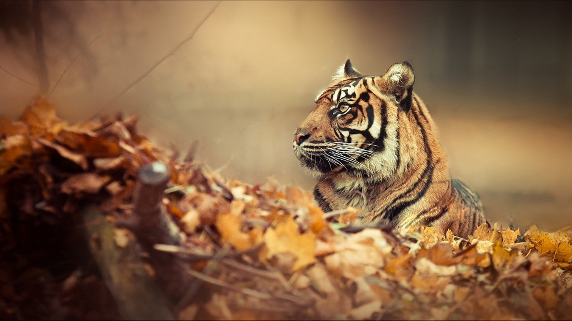 Download Full Hd 1080p Tiger Pc Wallpaper Id 115627 For Free