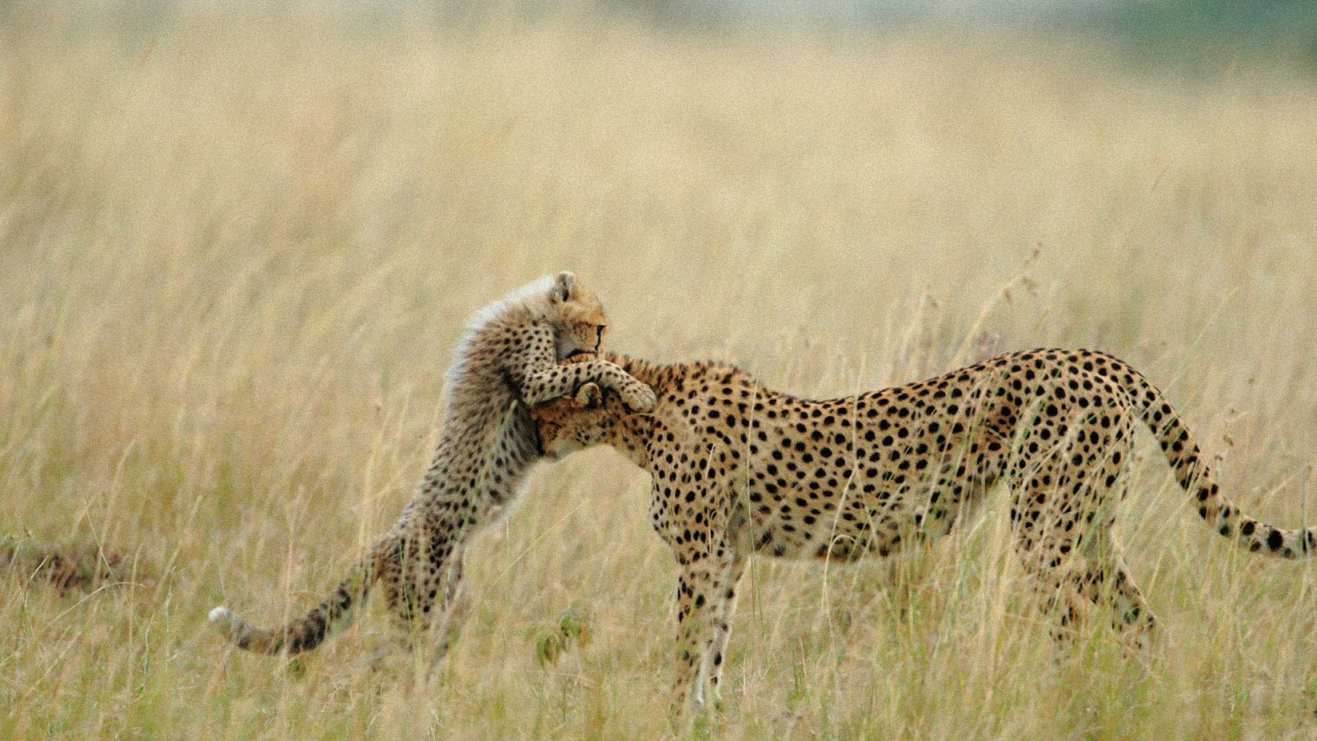 Free Cheetah high quality wallpaper ID:161787 for full hd desktop
