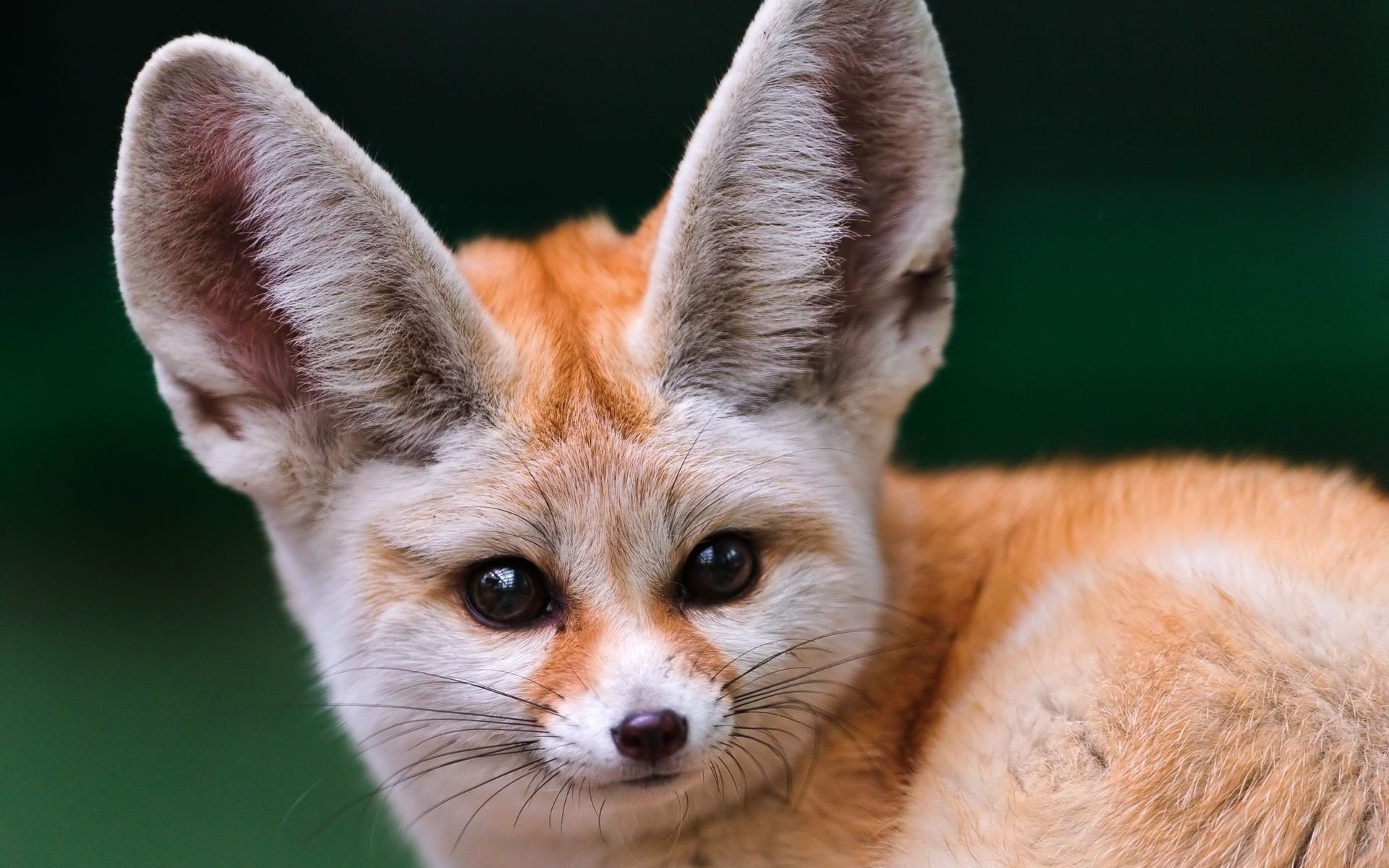 Best Fennec Fox wallpaper ID:137679 for High Resolution hd 1920x1200 computer