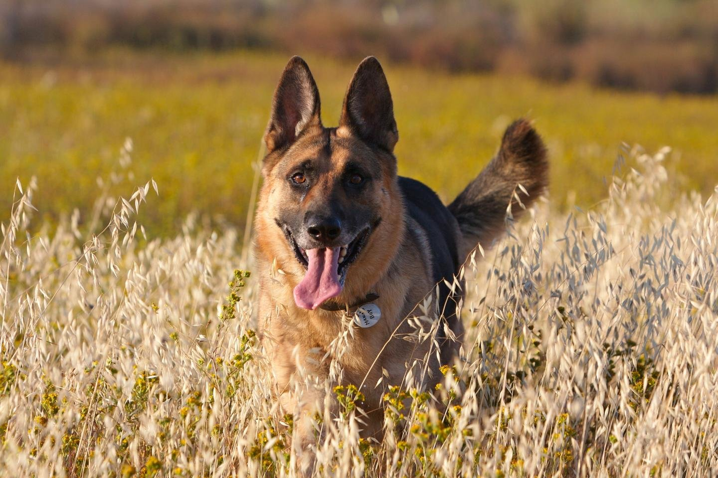 Download hd 1440x960 German Shepherd desktop wallpaper ID:111117 for free