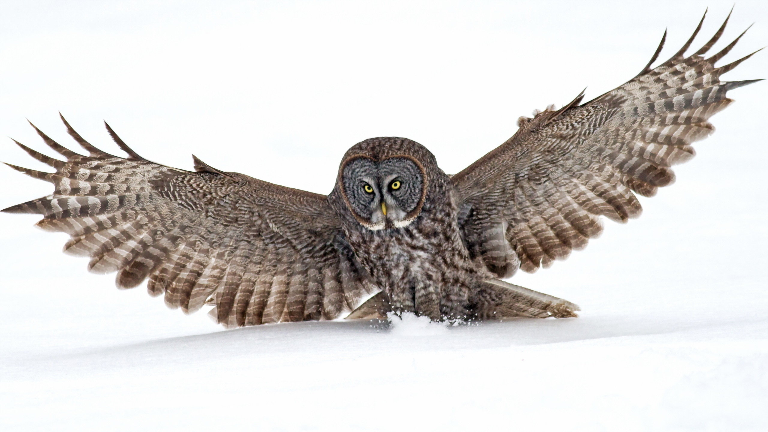 Best Great Grey Owl wallpaper ID:235110 for High Resolution hd 2560x1440 PC