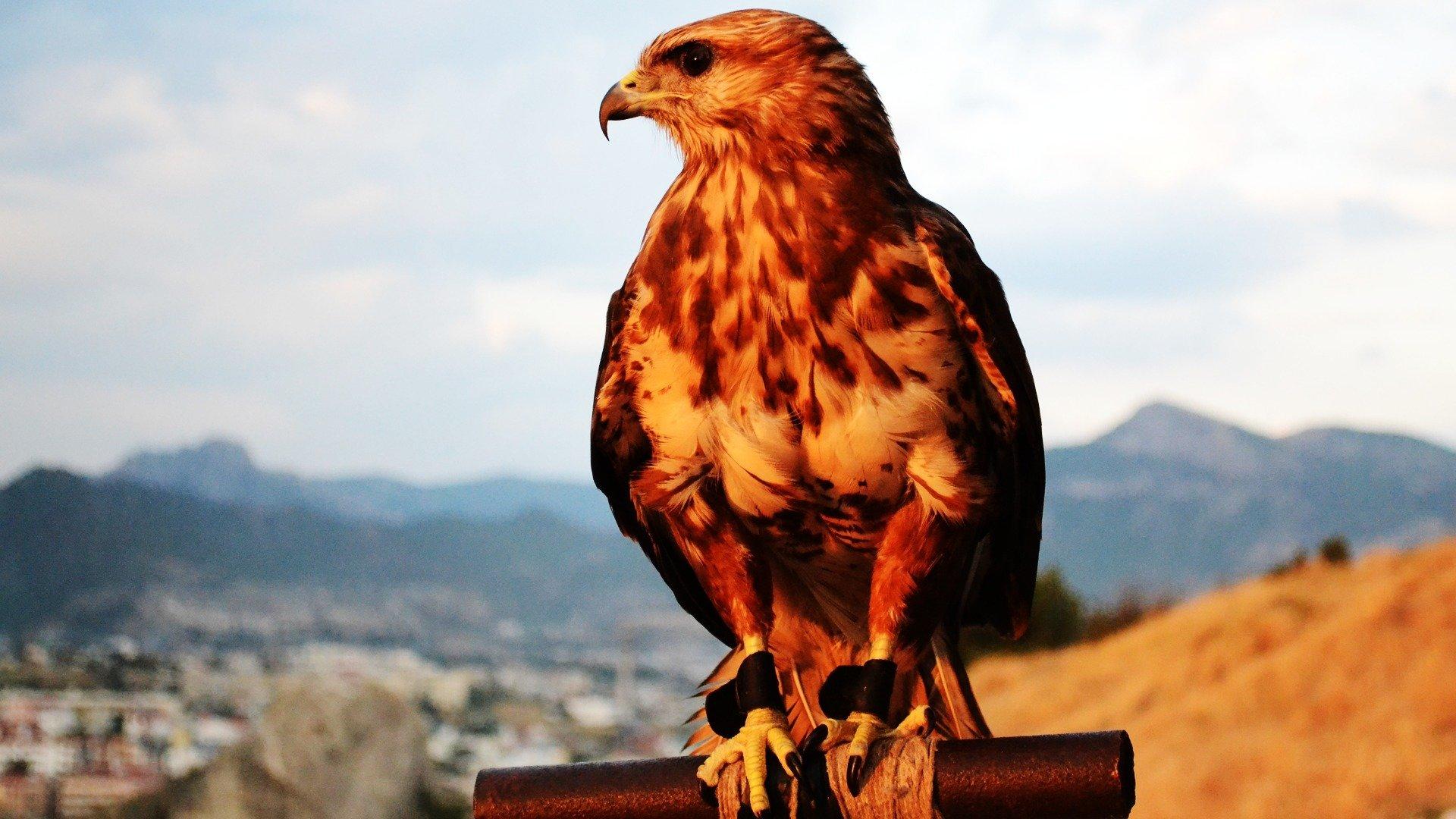 ястреб hawk  № 20912  скачать