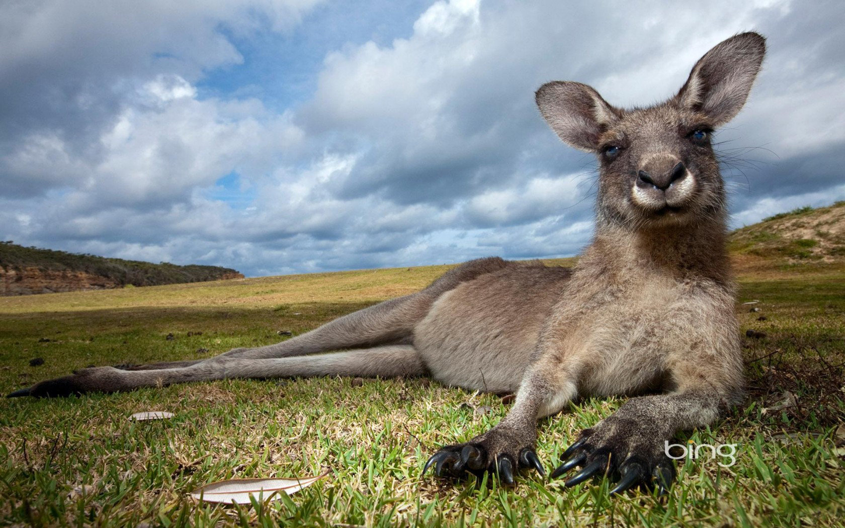 Awesome Kangaroo free wallpaper ID:122506 for hd 1680x1050 desktop