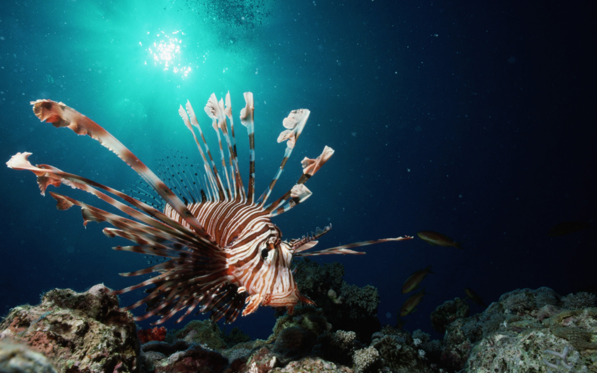 Free Lionfish high quality background ID:438220 for hd 1920x1200 desktop