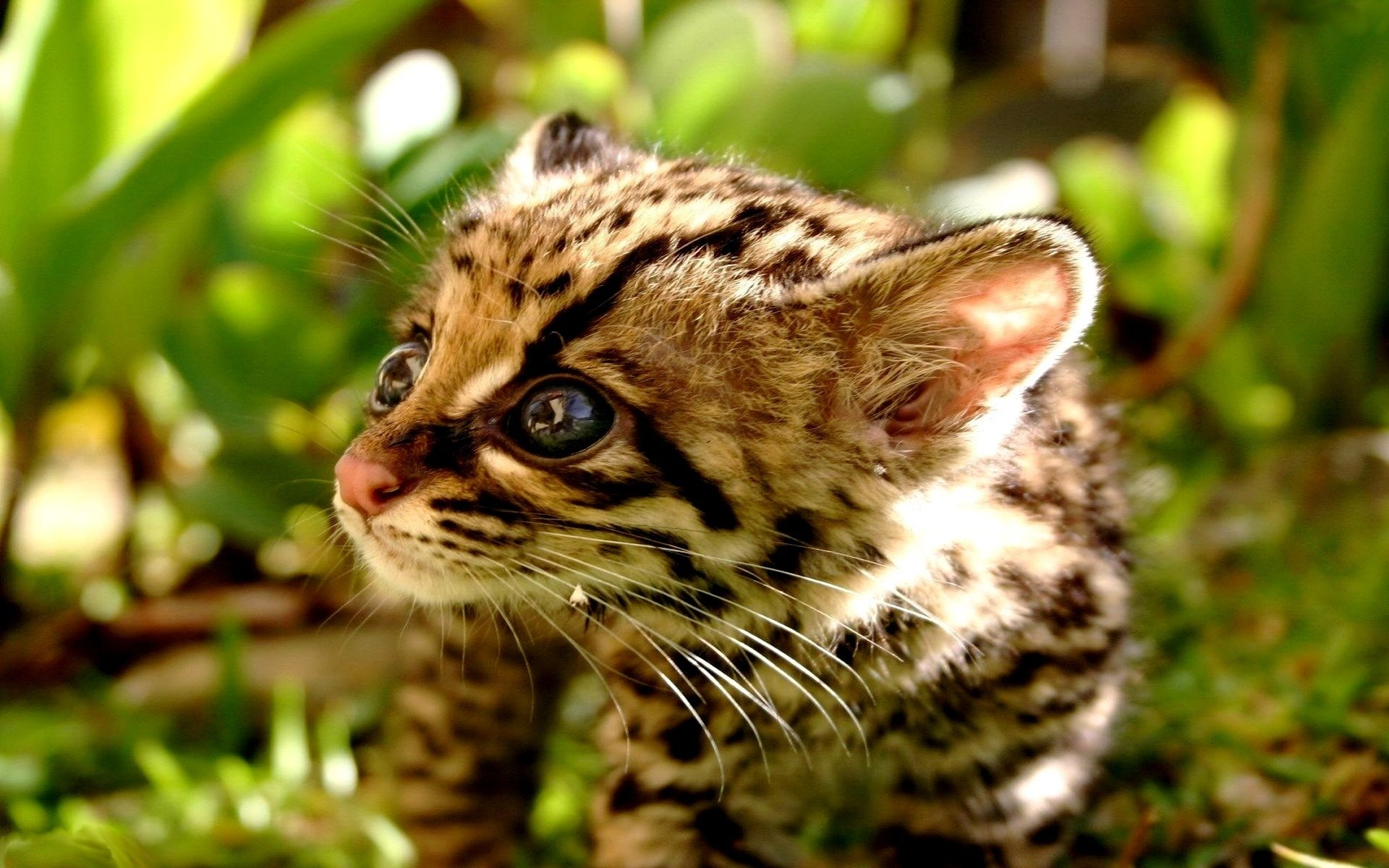 Awesome Ocelot free background ID:146304 for hd 1920x1200 PC