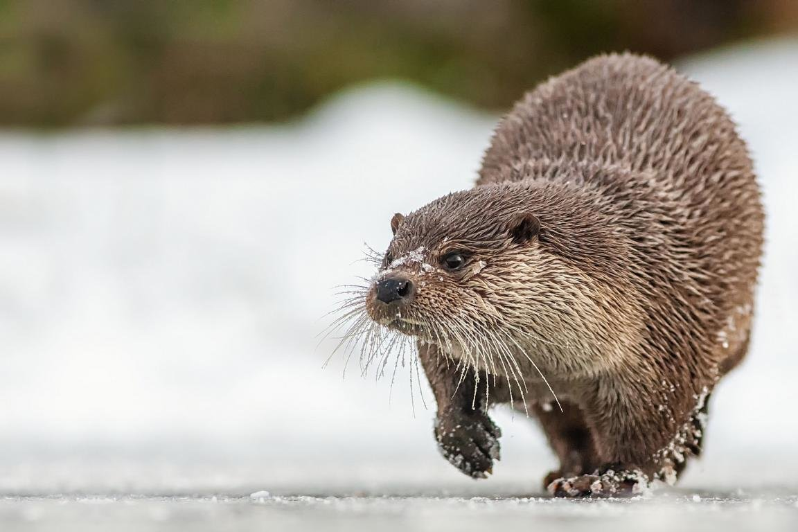 High resolution Otter hd 1152x768 wallpaper ID:207607 for PC