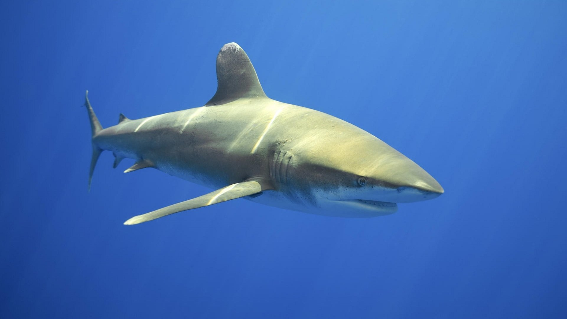 High resolution Shark 1080p background ID:180557 for PC