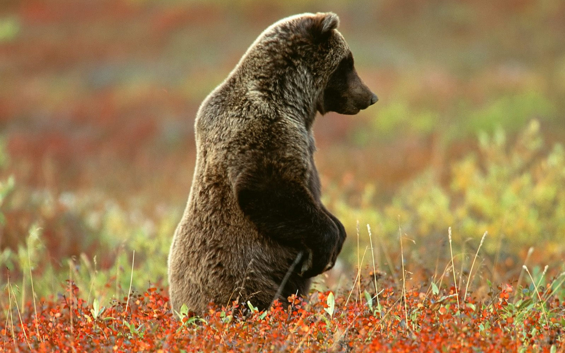 Free Bear high quality background ID:352748 for hd 1920x1200 PC
