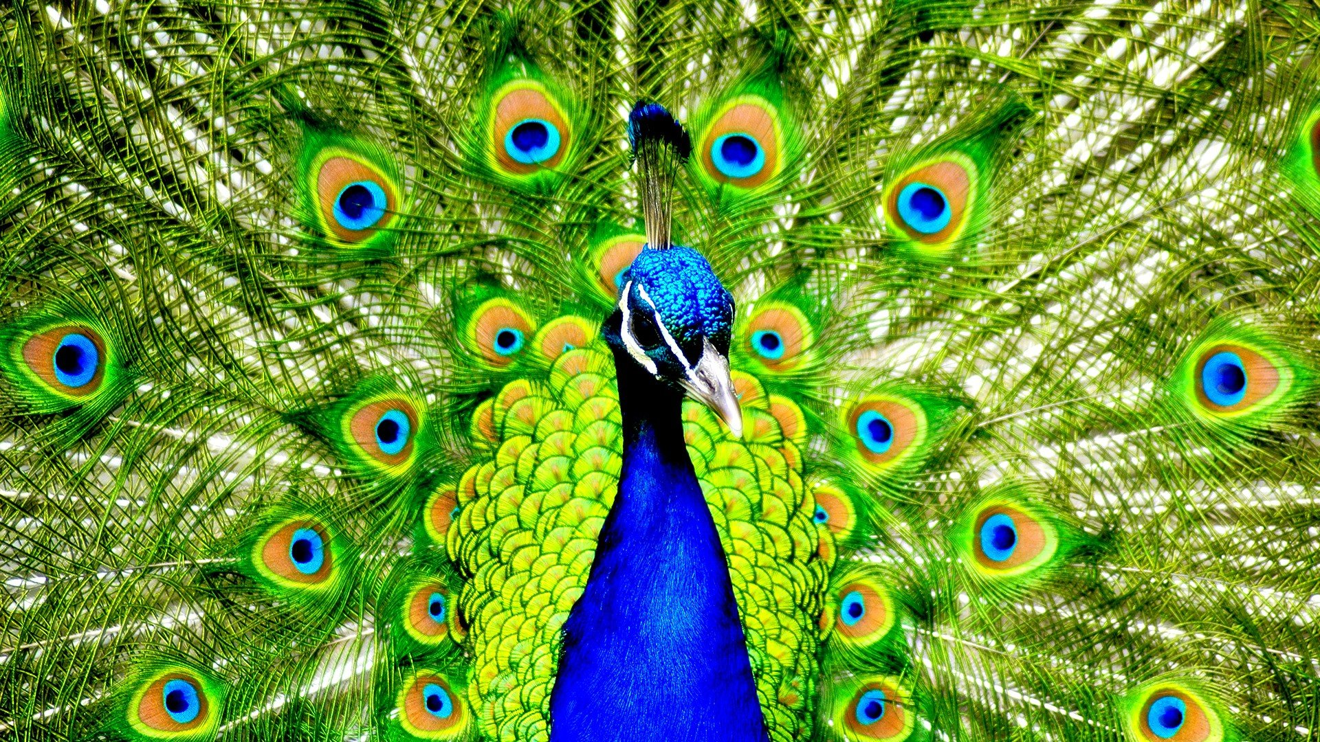 High resolution Peacock full hd 1920x1080 background ID:151809 for PC
