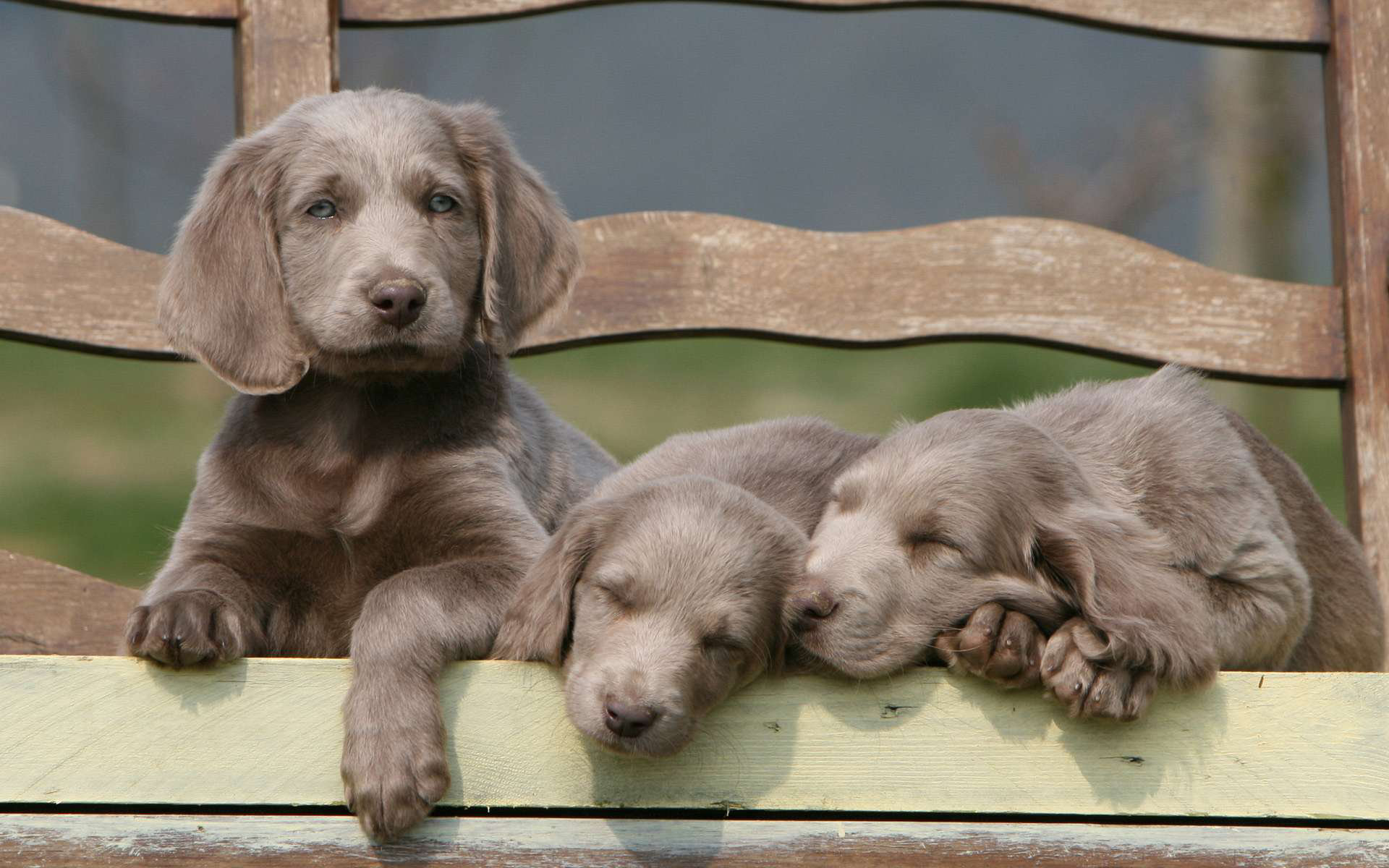 Awesome Weimaraner free wallpaper ID:9640 for hd 1920x1200 desktop