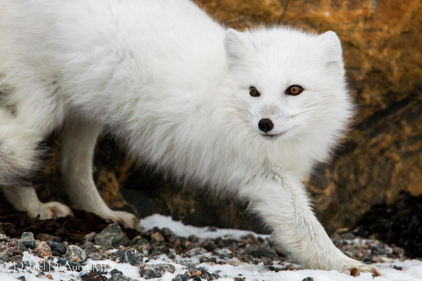 Free download Arctic Fox wallpaper ID:98746 hd 1440x960 for computer