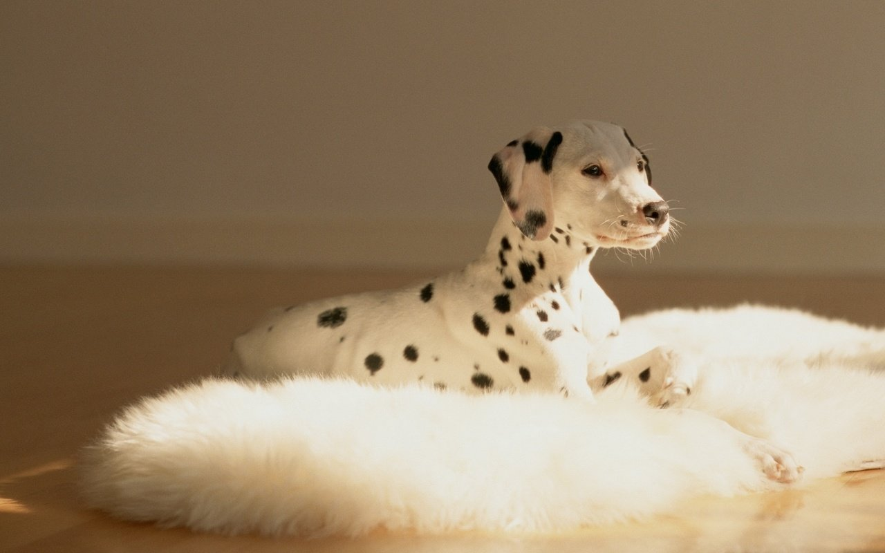 High resolution Dalmatian hd 1280x800 background ID:433551 for desktop