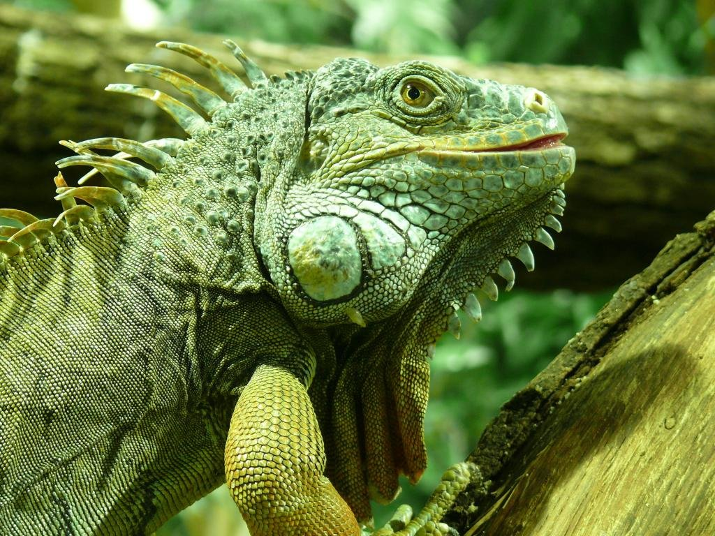 Awesome Iguana free background ID:380955 for hd 1024x768 computer