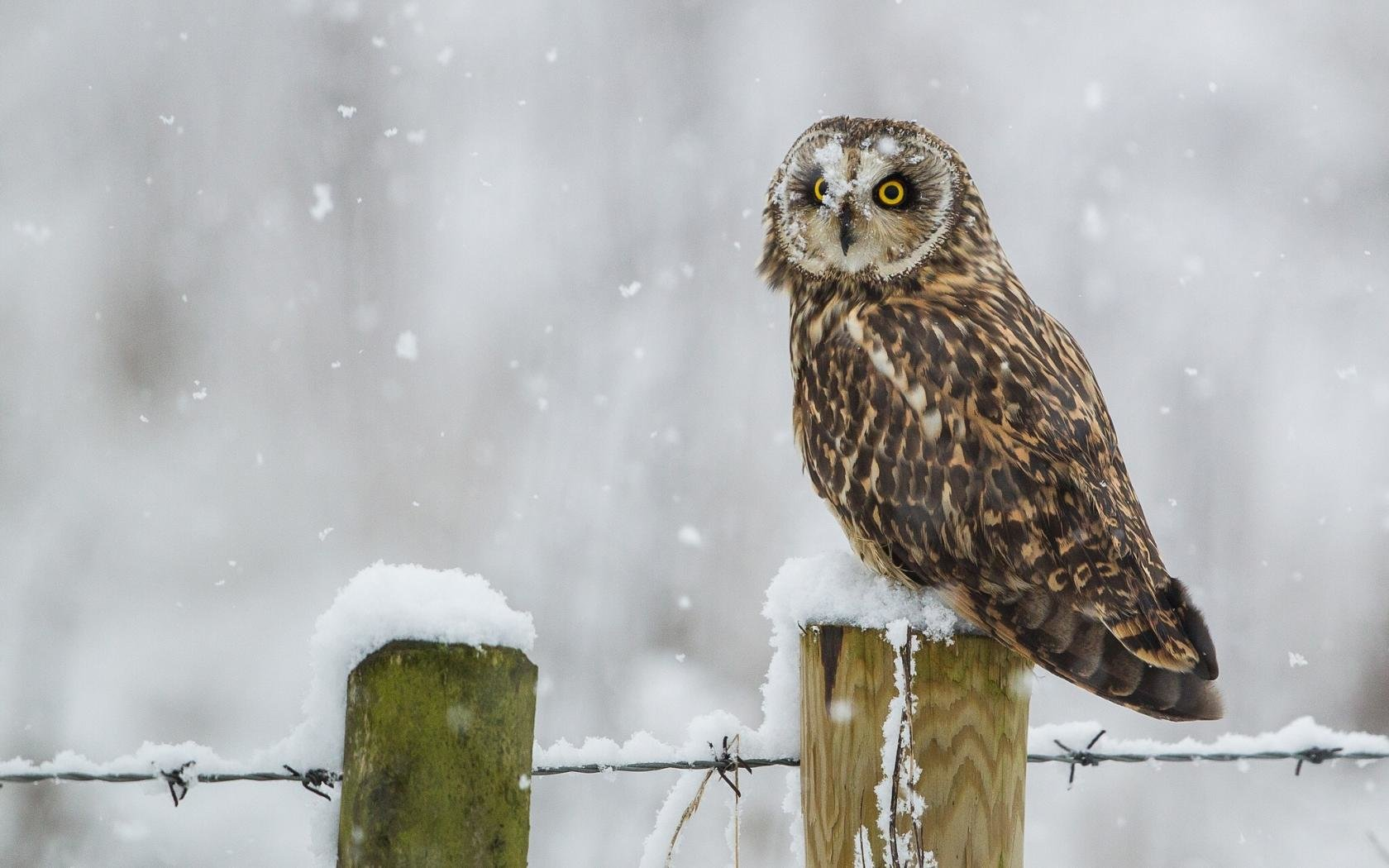 Free Owl high quality wallpaper ID:237051 for hd 1680x1050 desktop
