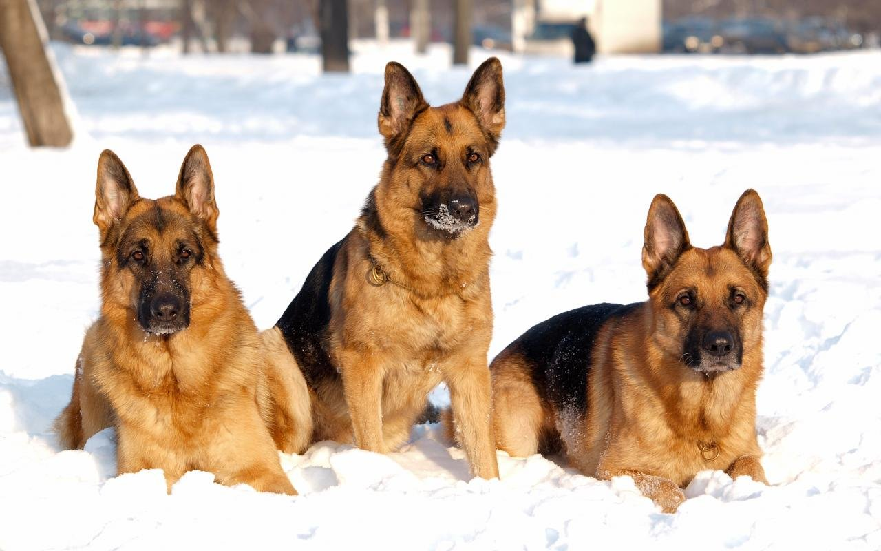 Best German Shepherd wallpaper ID:111026 for High Resolution hd 1280x800 desktop