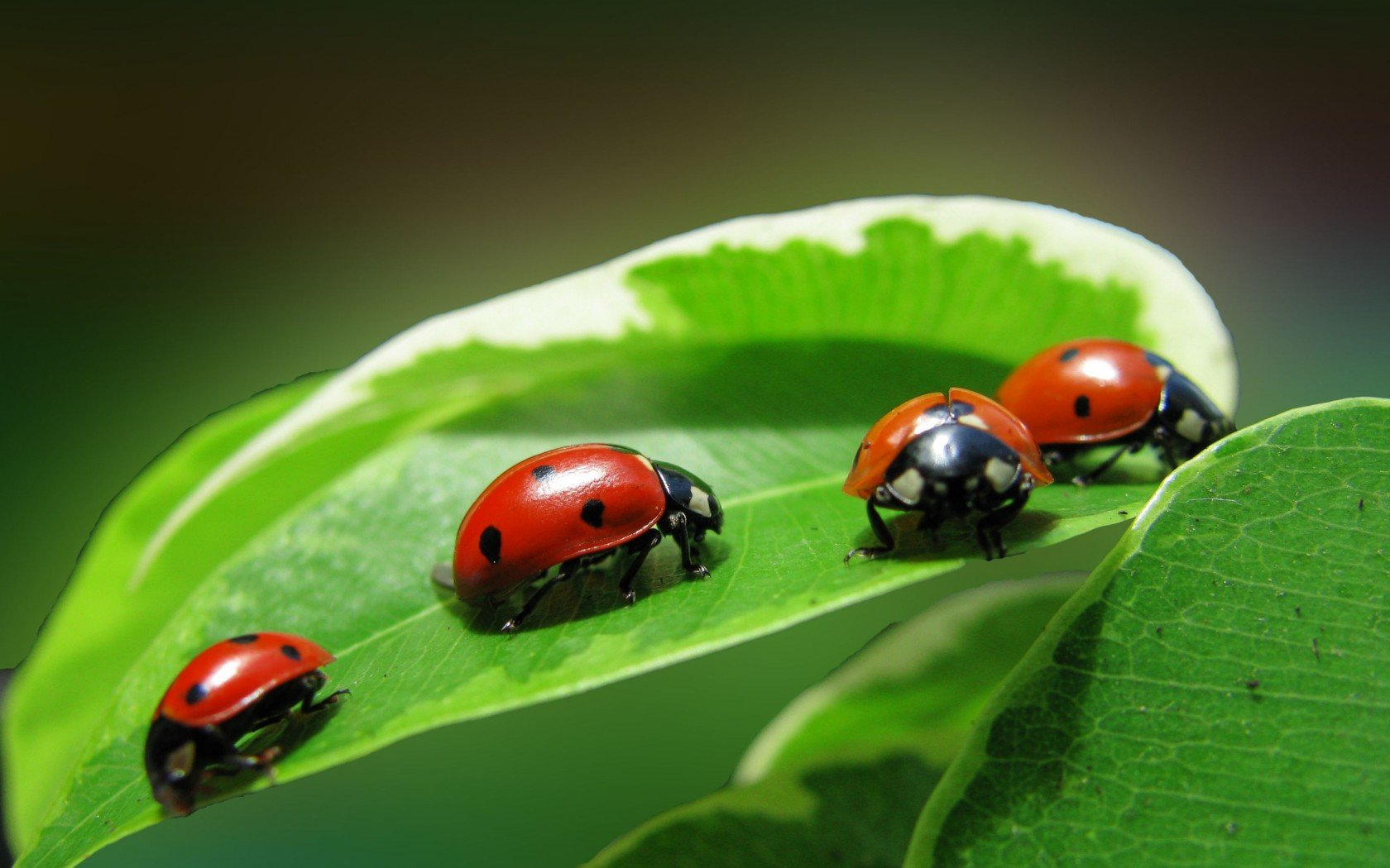 Best Ladybug wallpaper ID:270387 for High Resolution hd 1680x1050 PC