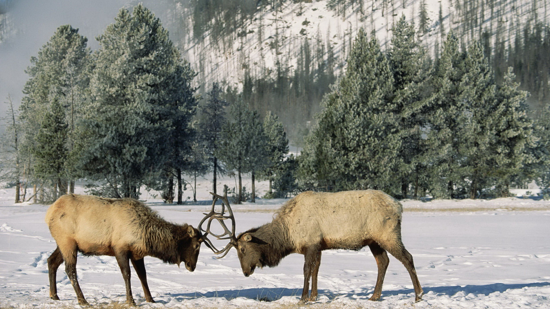 Elk hd 1920x1080 wallpaper ID:248463