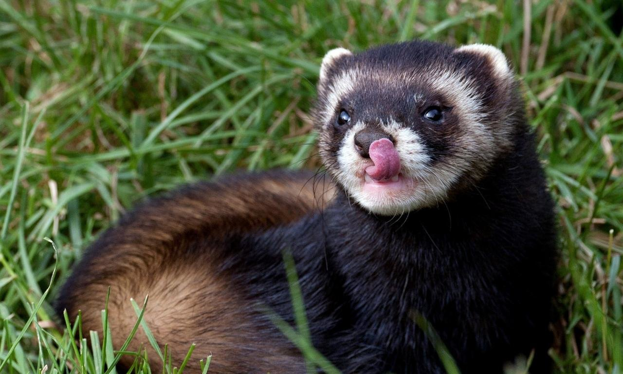 Download hd 1280x768 Ferret desktop wallpaper ID:165814 for free