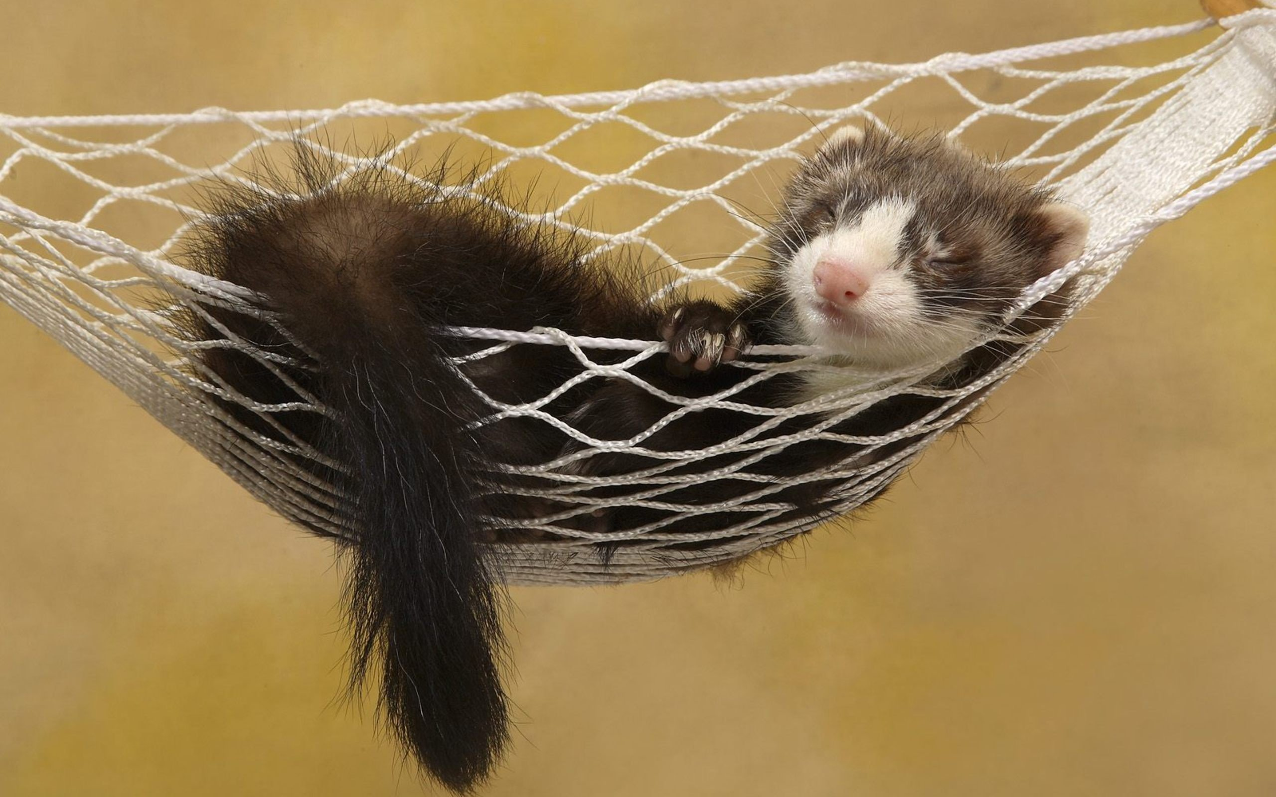 Download hd 2560x1600 Ferret desktop wallpaper ID:165827 for free