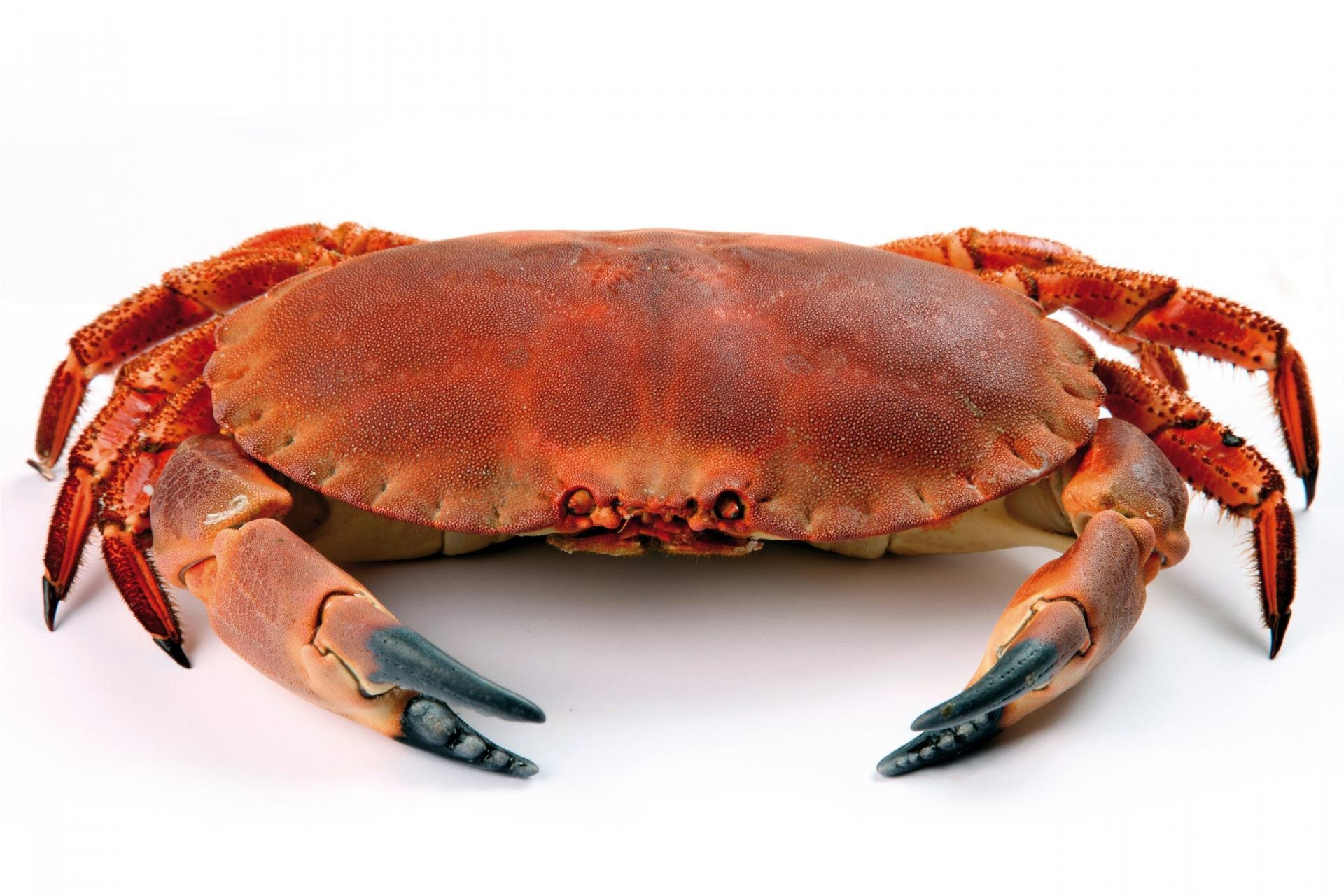 Best Crab wallpaper ID:294338 for High Resolution hd 1920x1280 computer