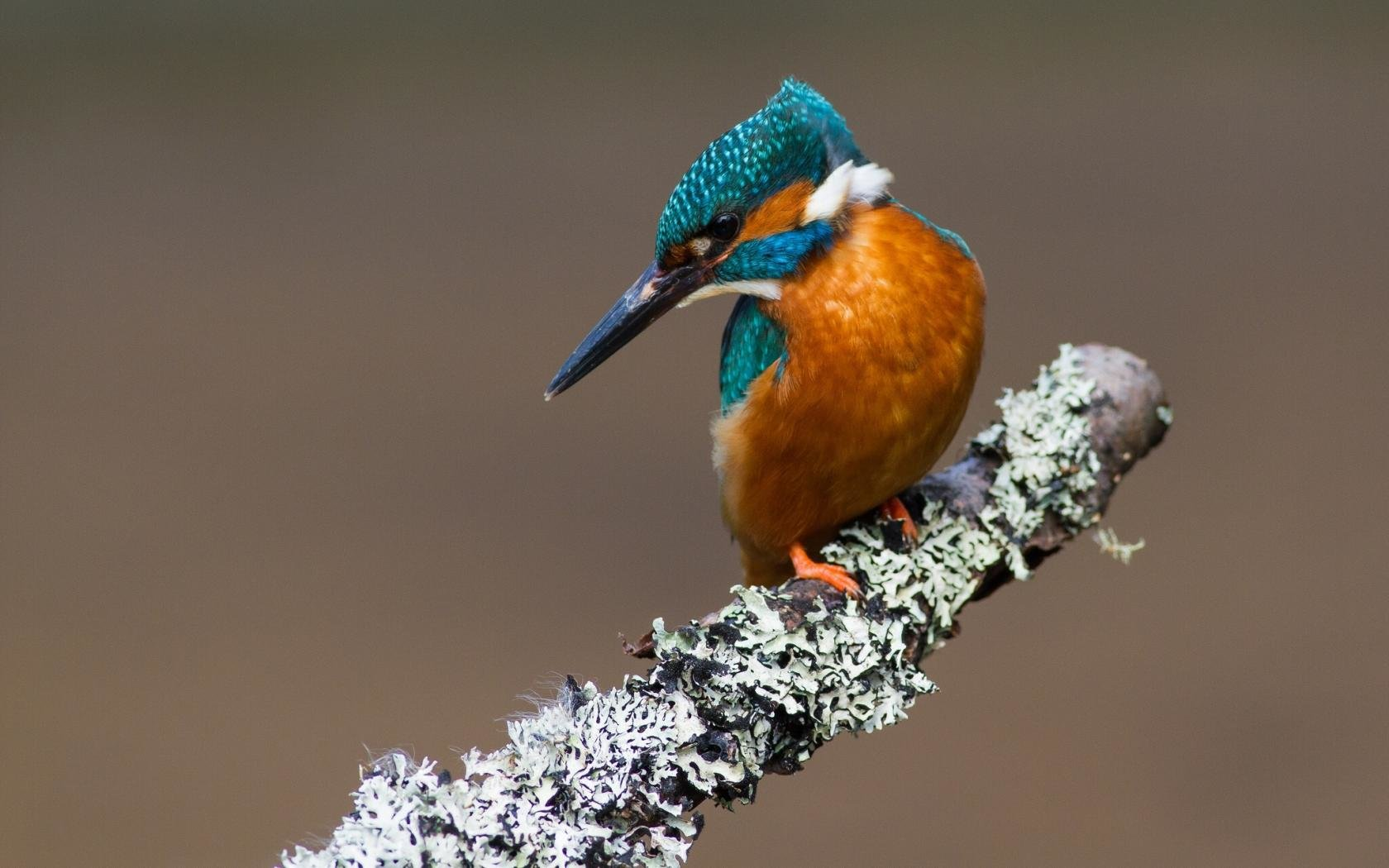 Best Kingfisher background ID:311316 for High Resolution hd 1680x1050 PC