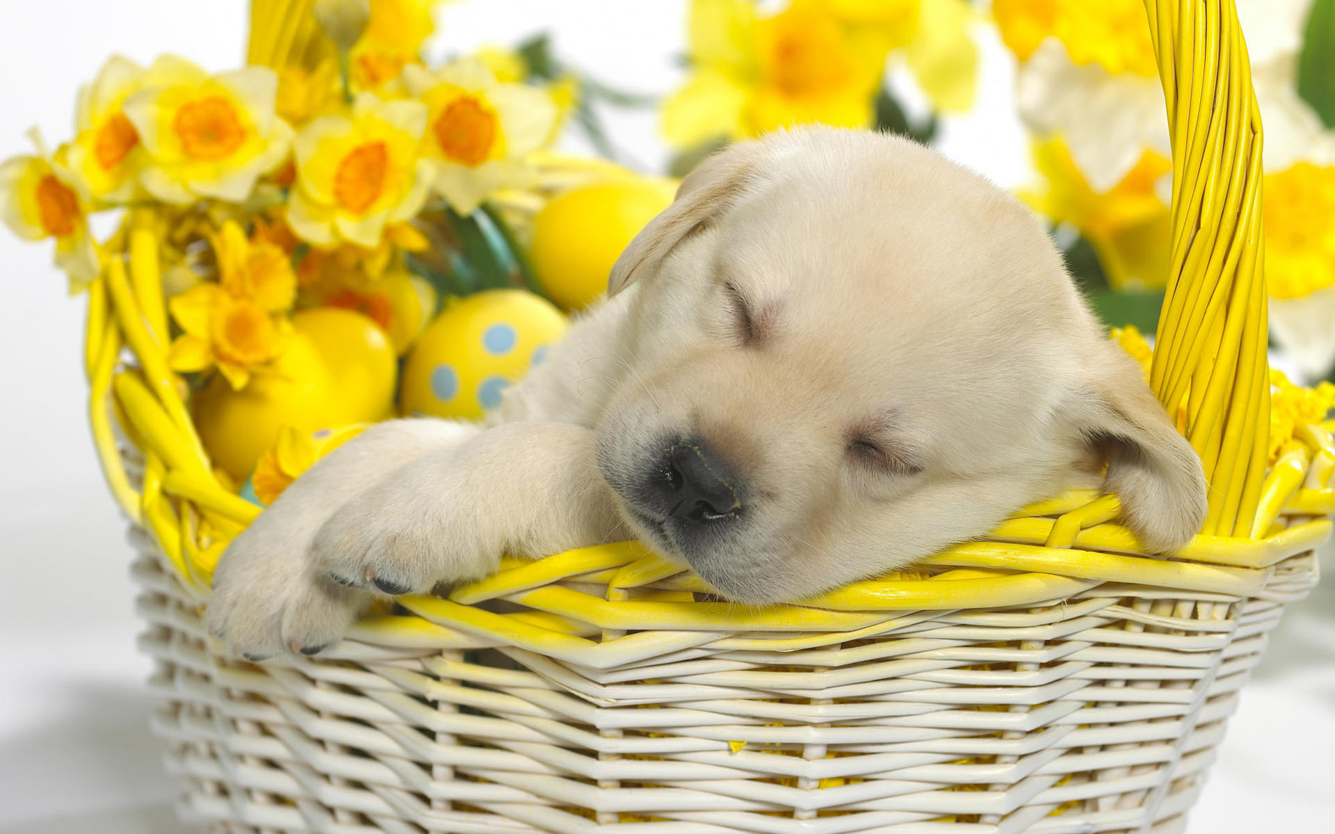 Free download Puppy wallpaper ID:46936 hd 1920x1200 for PC