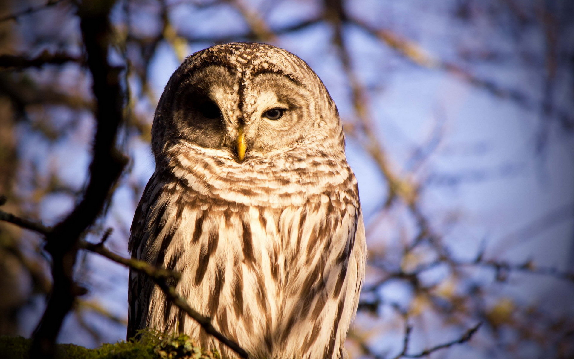Download hd 1920x1200 Barred Owl computer background ID:91354 for free