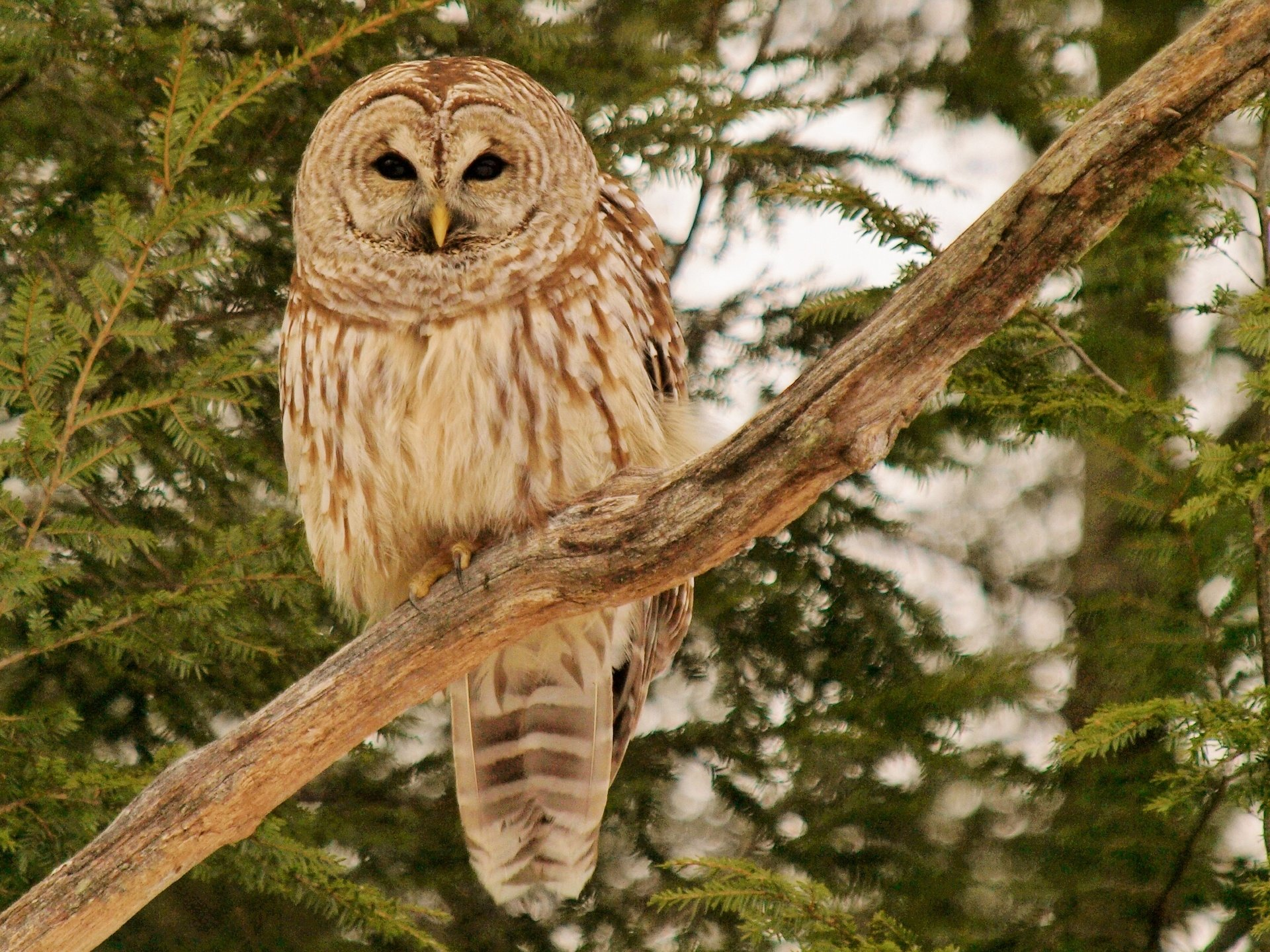 Free Barred Owl high quality wallpaper ID:91339 for hd 1920x1440 computer