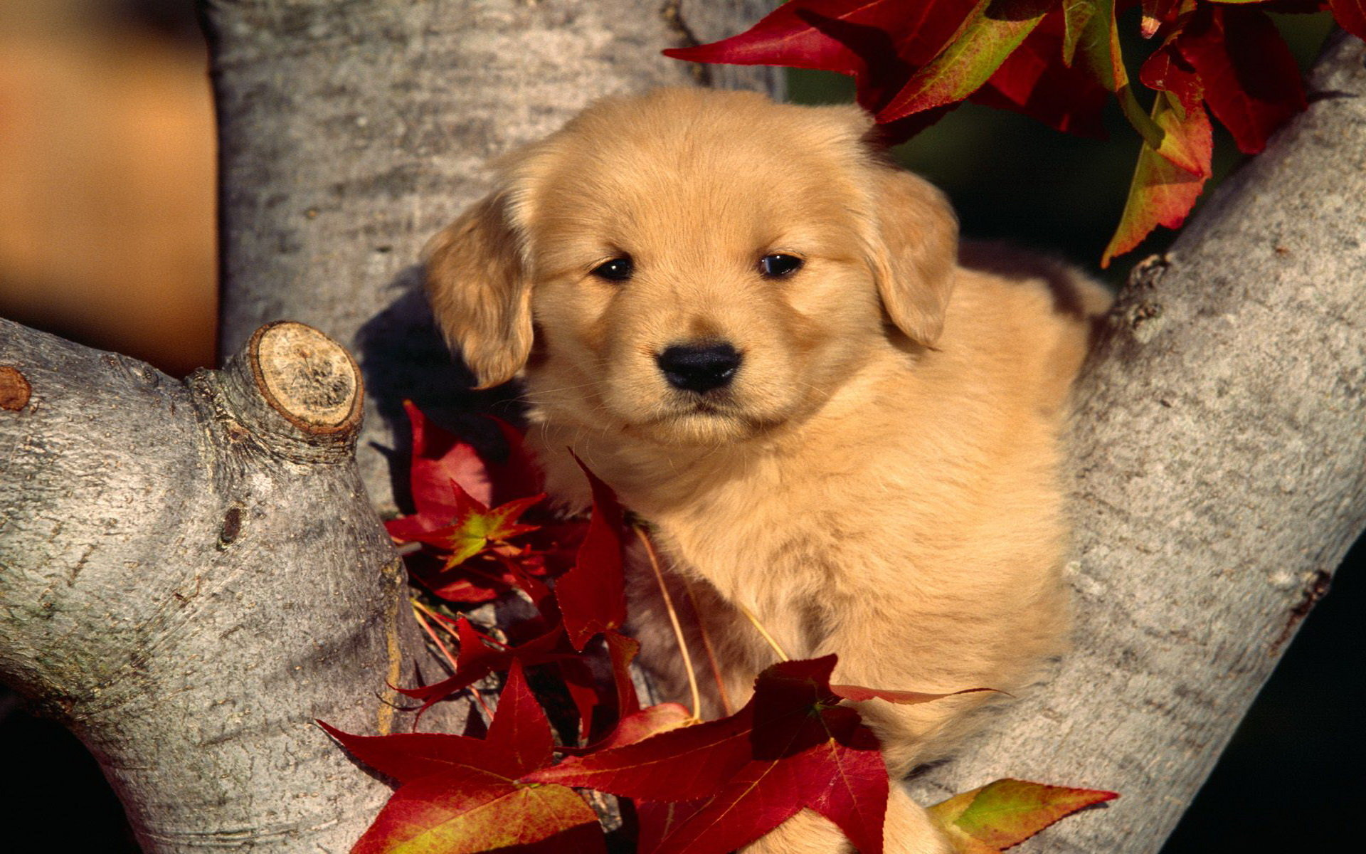 Download hd 1920x1200 Puppy PC background ID:47004 for free