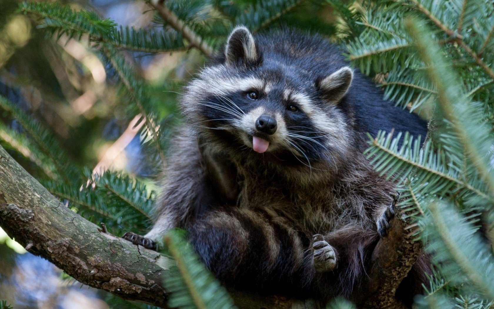 Best Raccoon wallpaper ID:185459 for High Resolution hd 1680x1050 desktop